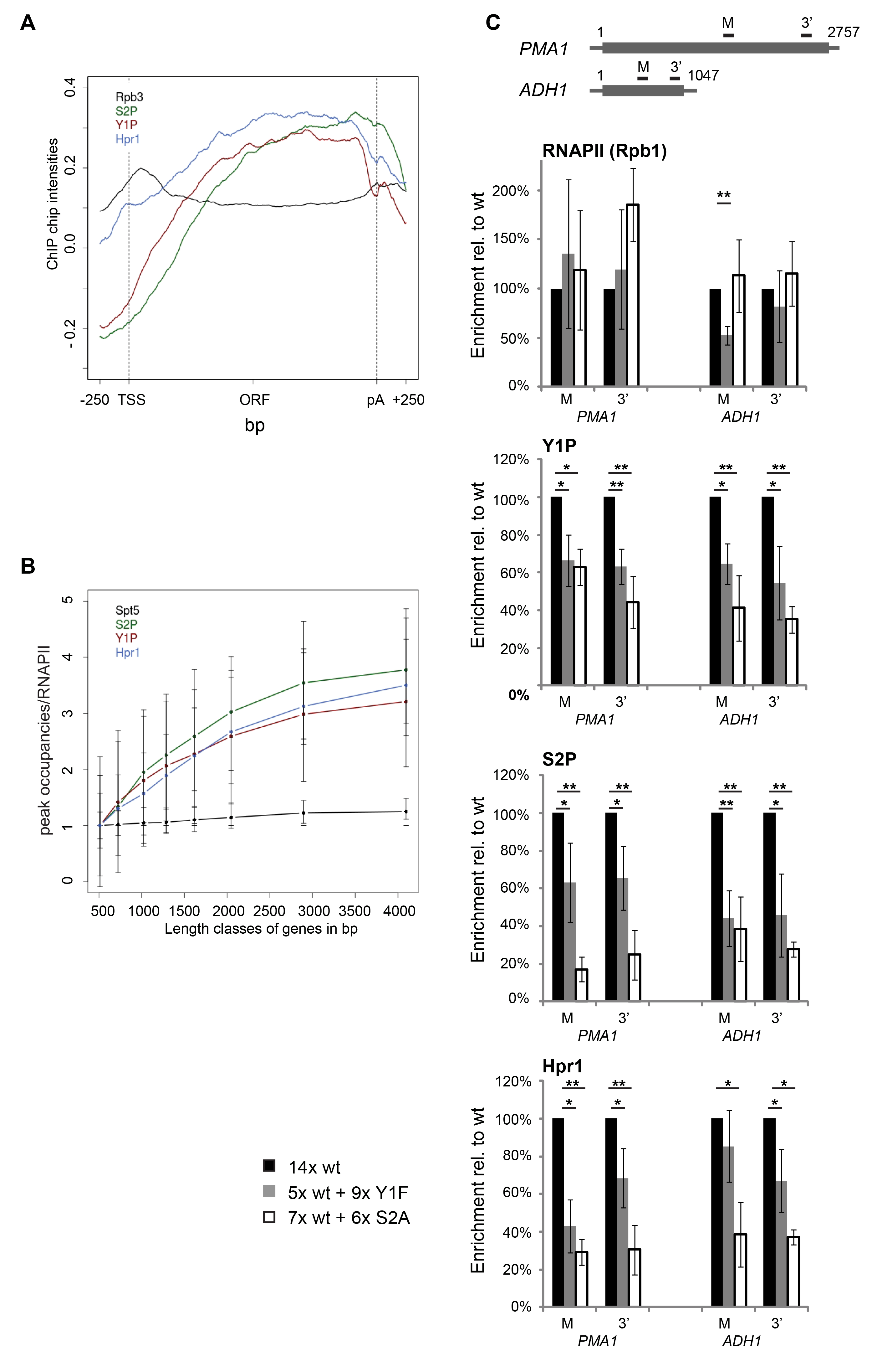 Y1 and/or S2 phosphorylation is essential for TREX recruitment in vivo.