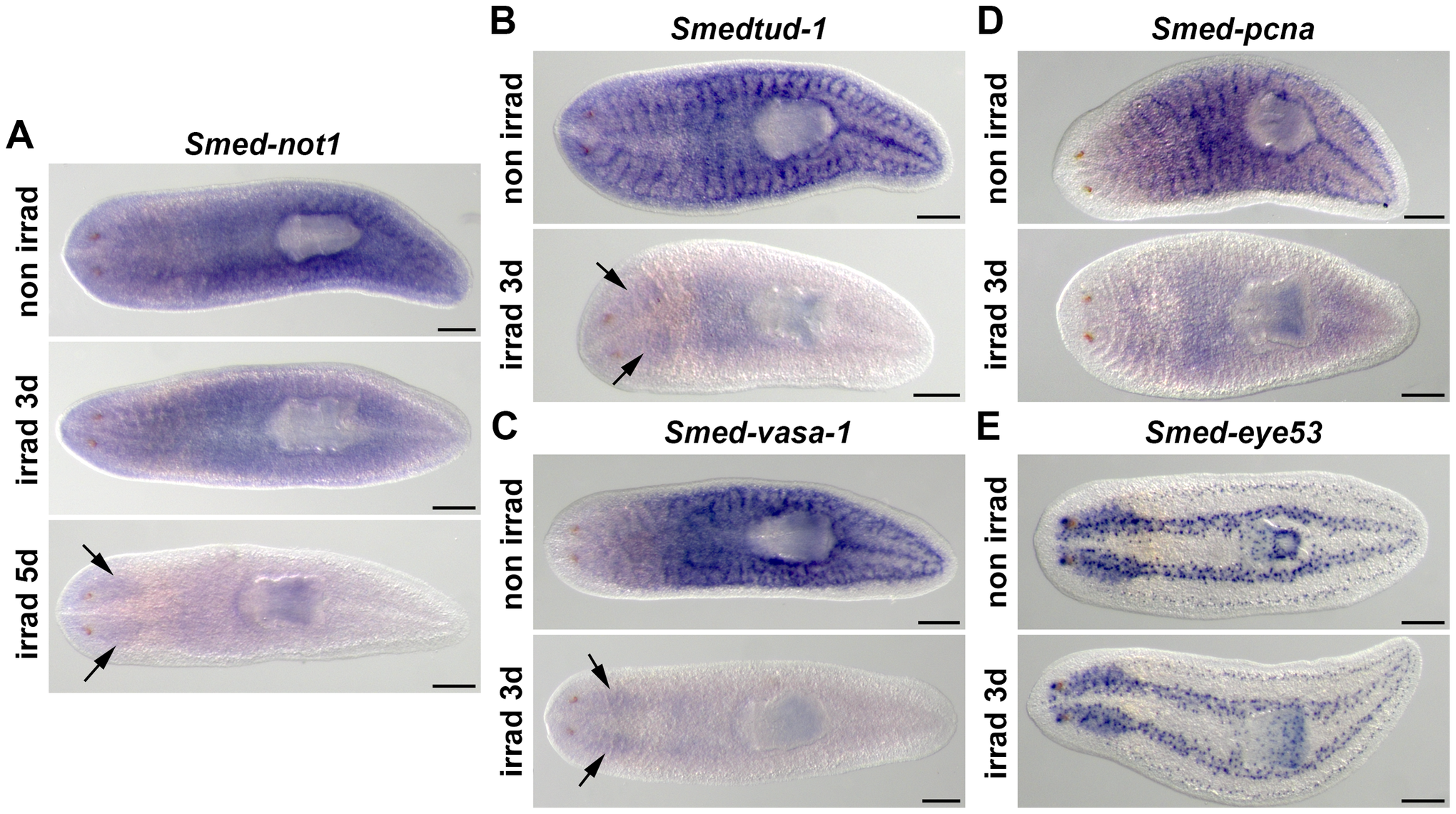<i>Smed-not1</i> is expressed in CNS and throughout the parenchyma in an irradiation-sensitive manner.