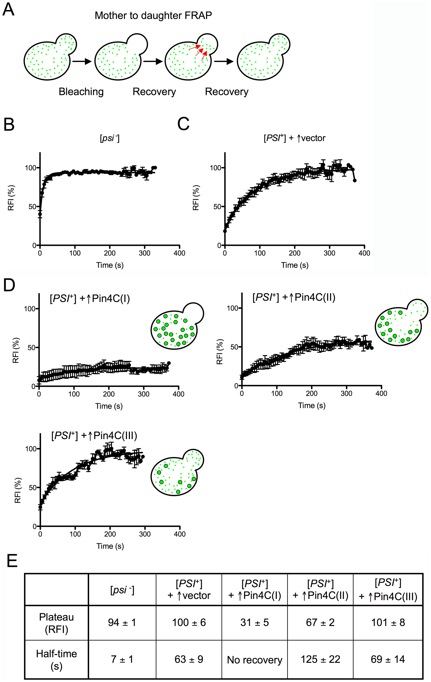 Overexpressed Pin4C reduces the transmission of Sup35-GFP from mother to daughter cells.