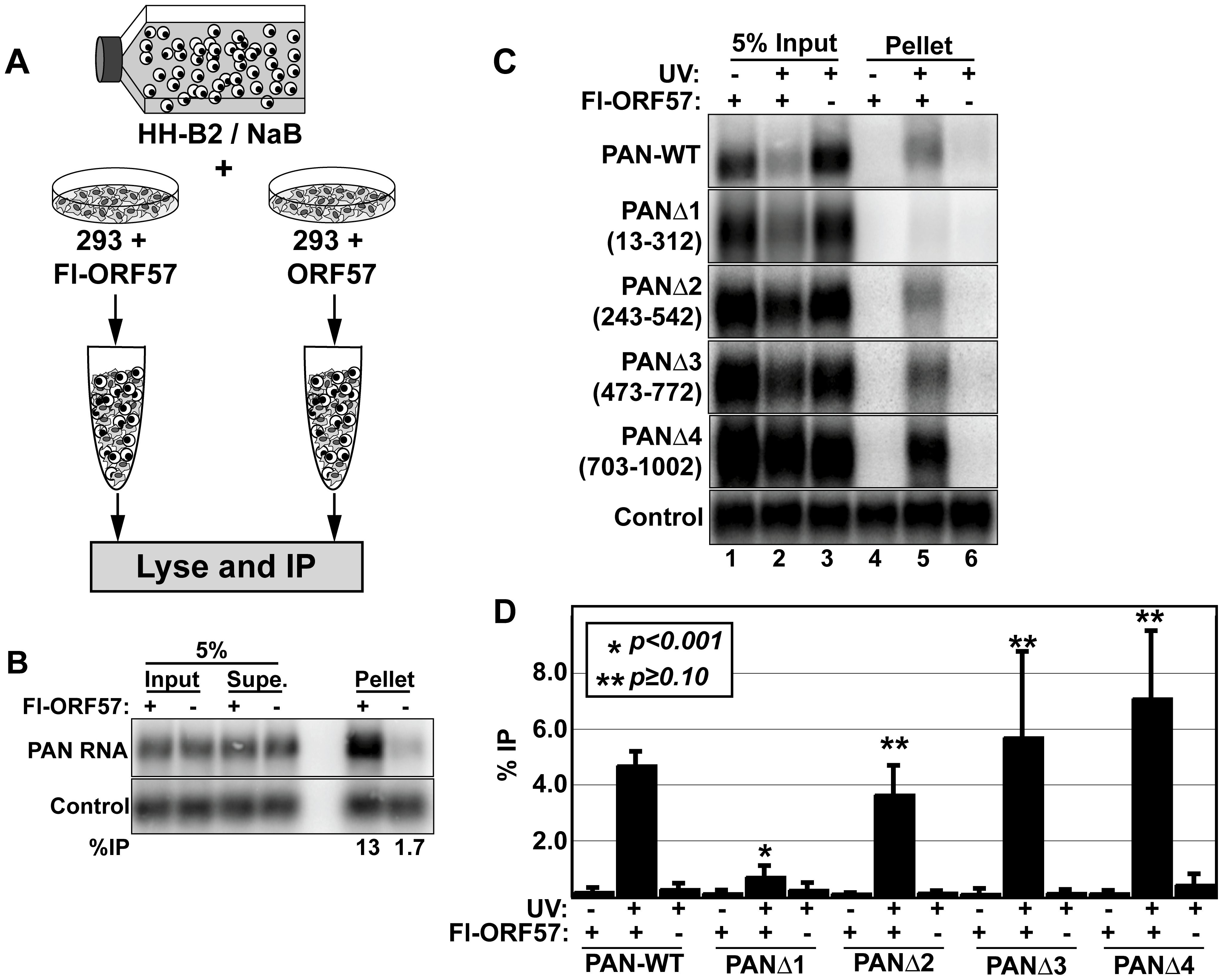 ORF57 binds PAN RNA in transfected cells.