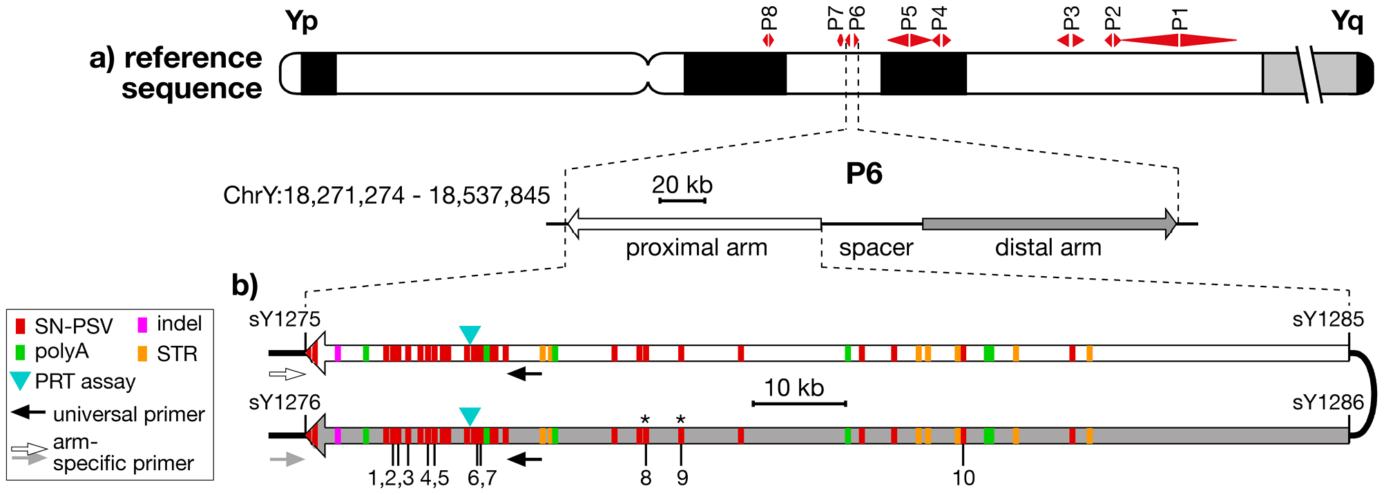Location and structure of palindrome P6, showing positions of PSVs analysed.