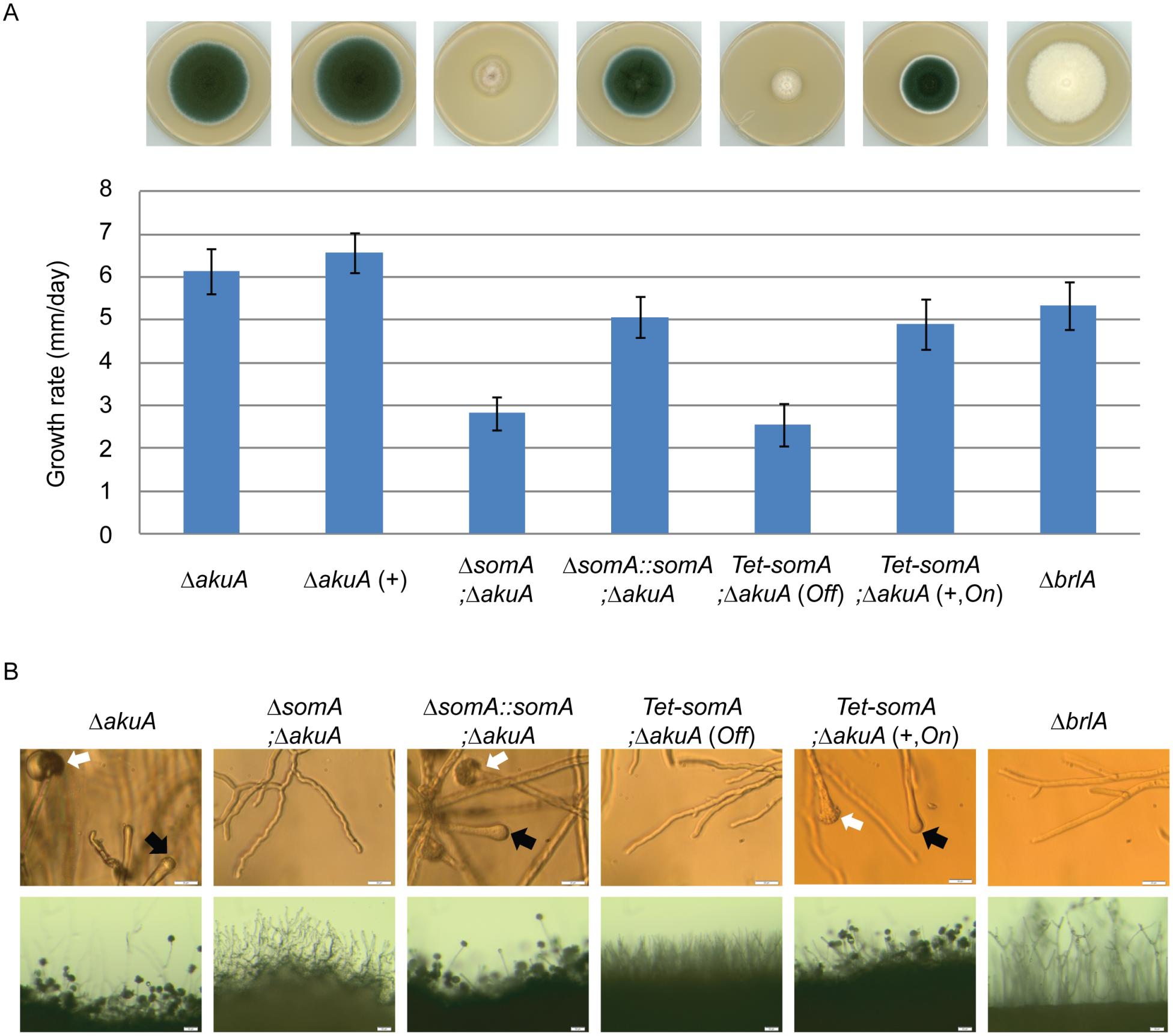 SomA promotes growth and conidia formation of <i>A</i>. <i>fumigatus</i>.