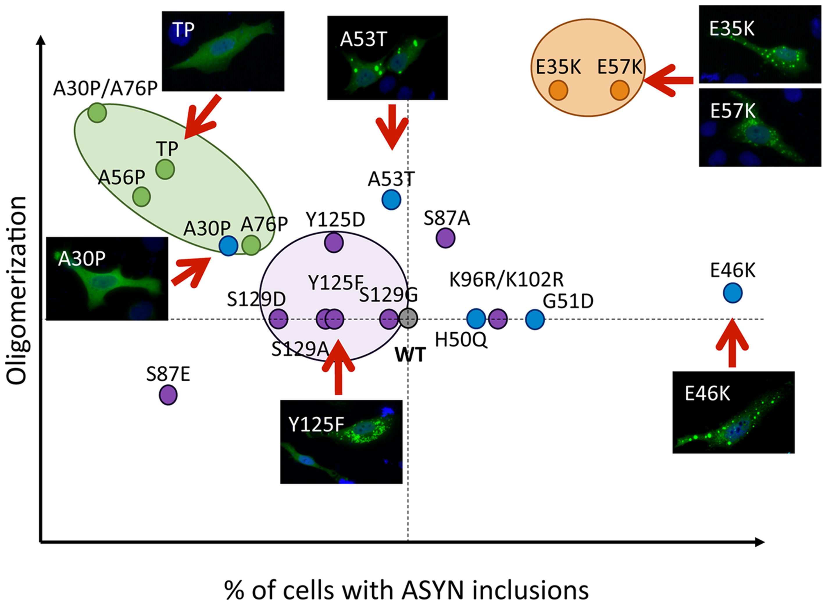 Correlation between the effects of ASYN mutations on oligomerization and inclusion formation.