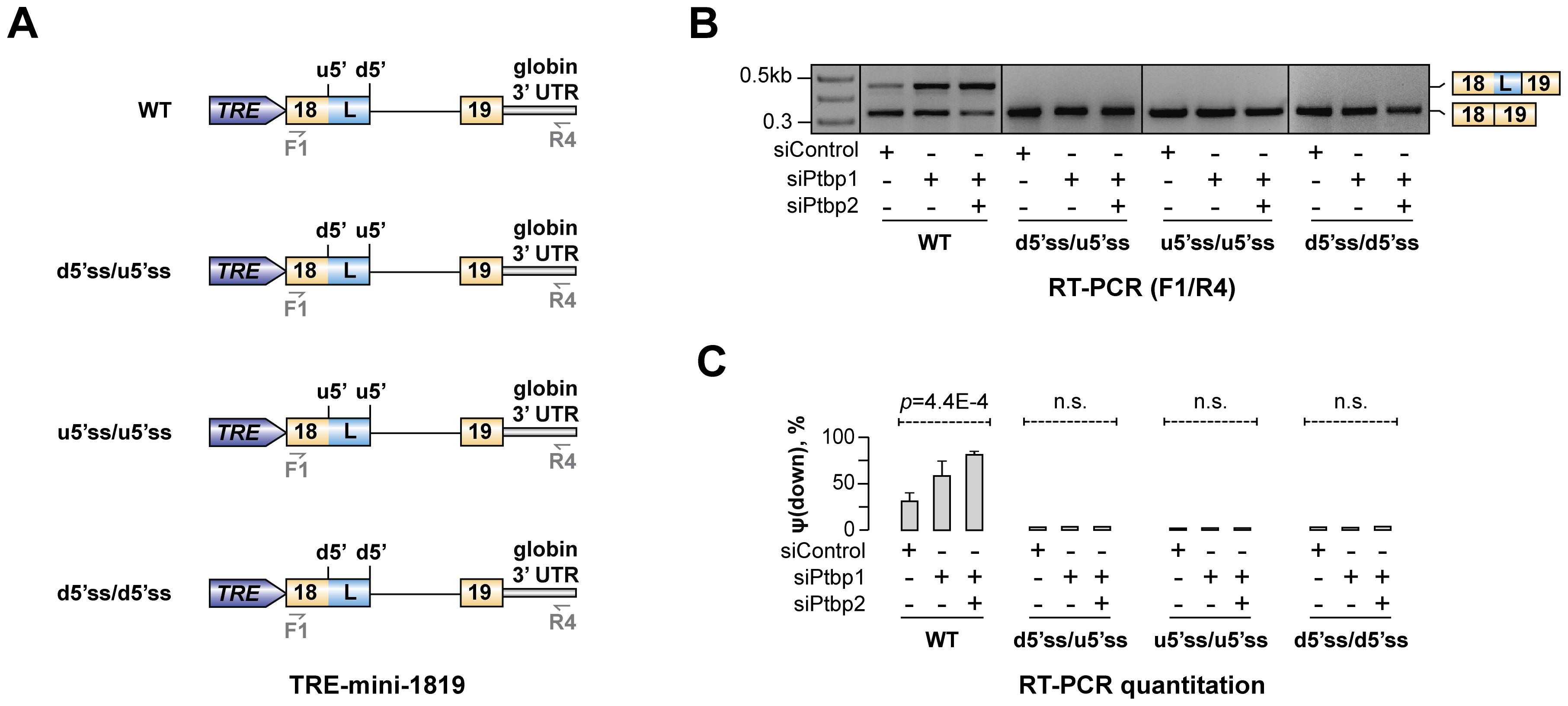 Hps1 regulation depends on u5′ss being weaker than d5′ss.