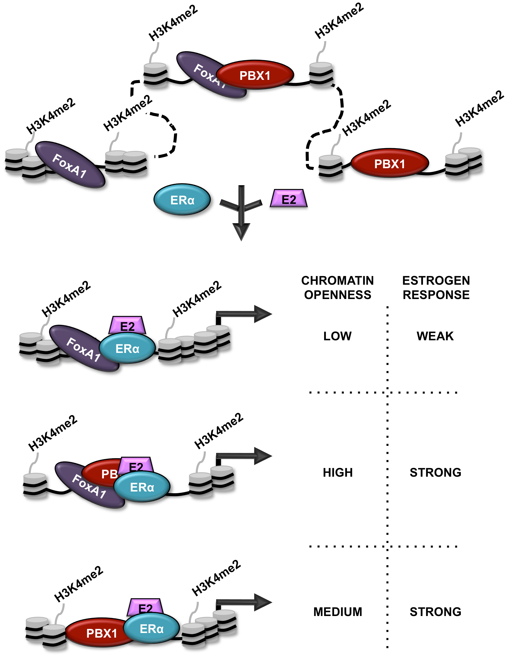 Schematic representation of PBX1 activity in breast cancer.
