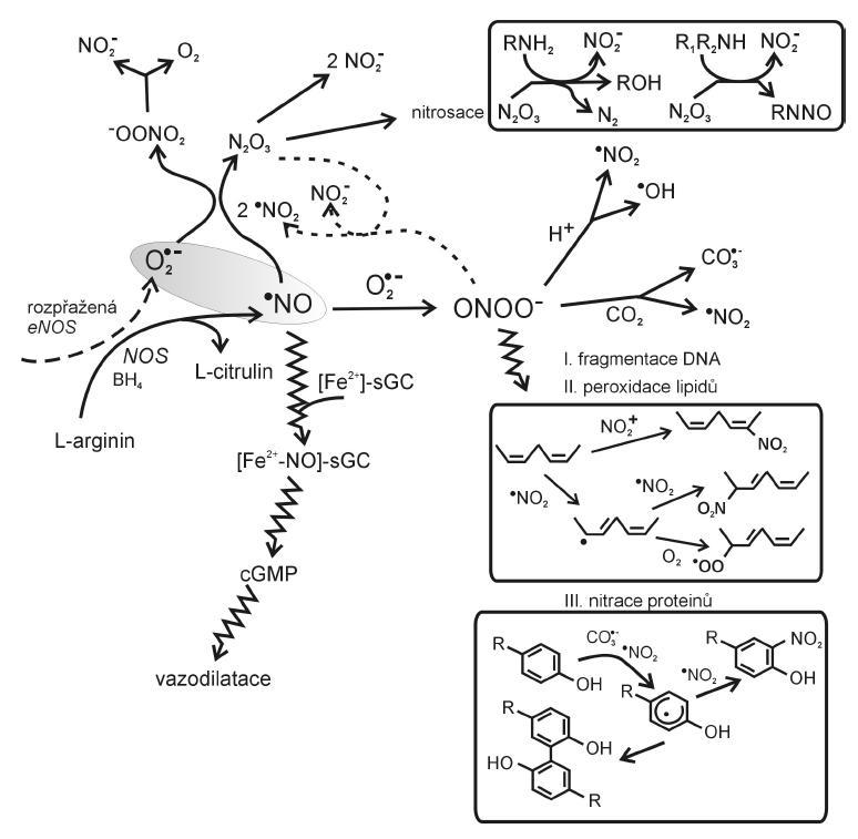 Vznik a působení reaktivních forem dusíku (dle 6, 11, 16, 17) BH4 – tetrahydrobiopterin, eNOS – endoteliální syntháza NO, sGC – solubilní guanylát cykláza, cGMP – cyklický guanylmonofosfát