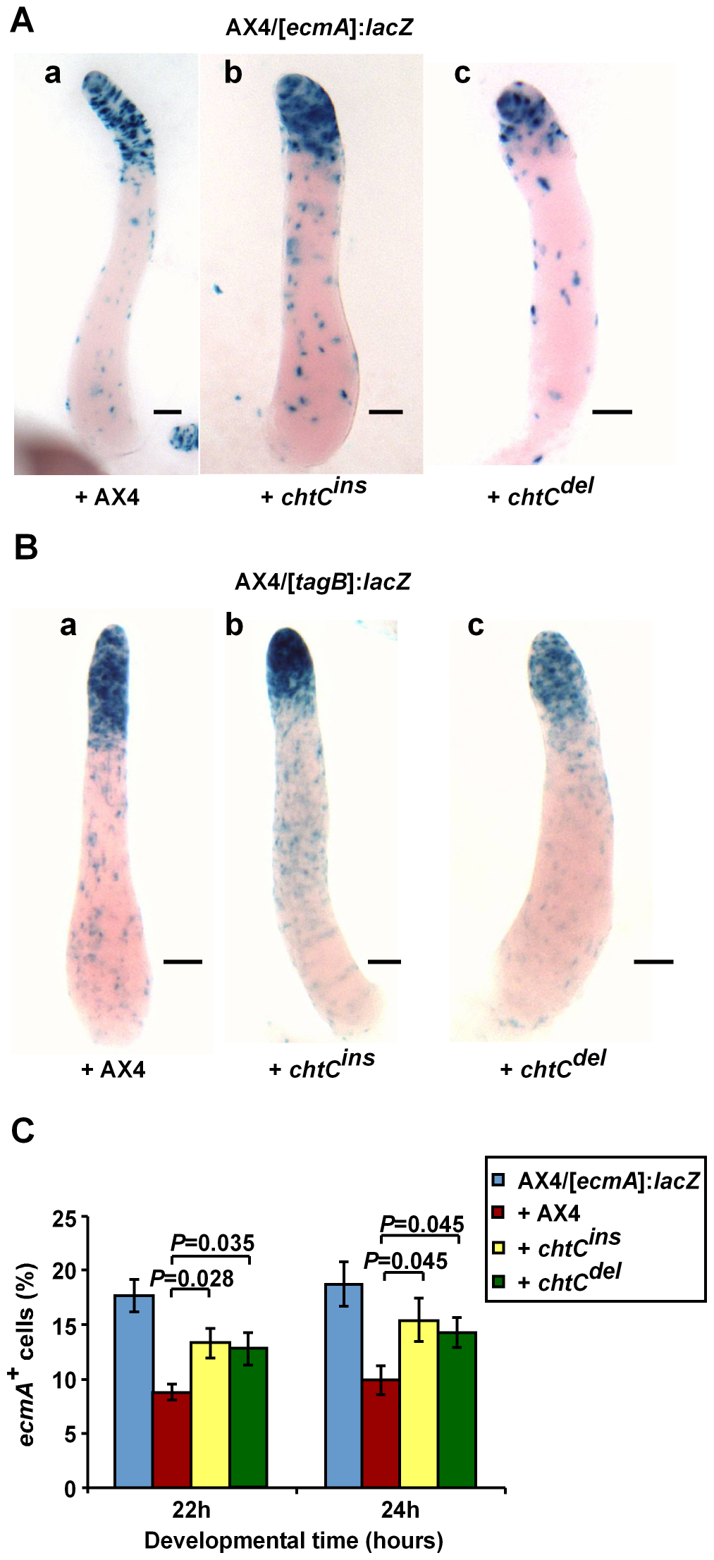 The <i>chtC</i> mutants affect prestalk development of AX4 in chimerae.