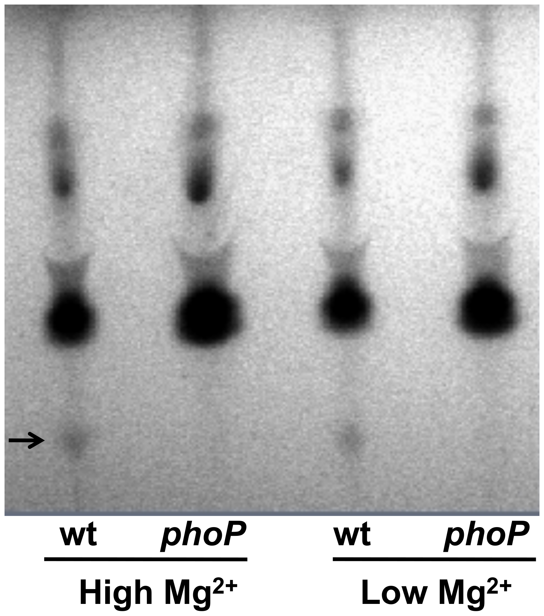 Thin layer chromatographic analysis of lipids extracted from wild type (wt) and <i>phoP</i> mutant strains of <i>S. glossinidius</i> grown at high (10 mM) and low (10 µM) concentrations of magnesium.
