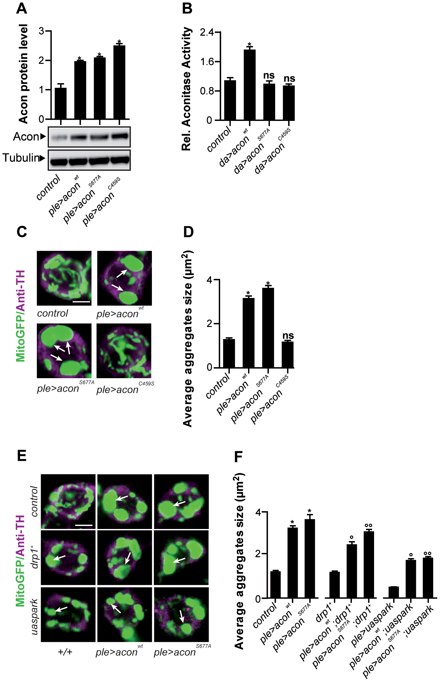 Acon[4Fe-4S] cluster induces mitochondrial defect in DA neurons that is not rescued by increased mitophagy.