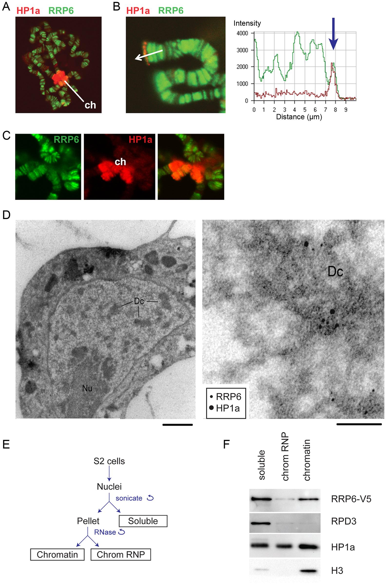 RRP6 is associated with heterochromatin <i>in vivo</i>.