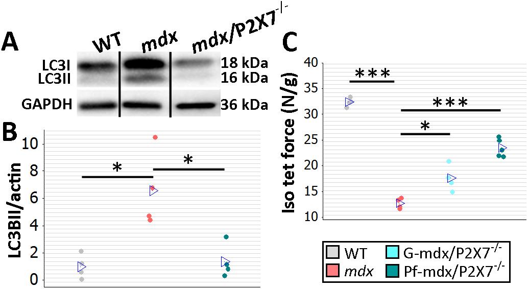 <i>P2RX7</i> ablation improves <i>mdx</i> mouse muscles.