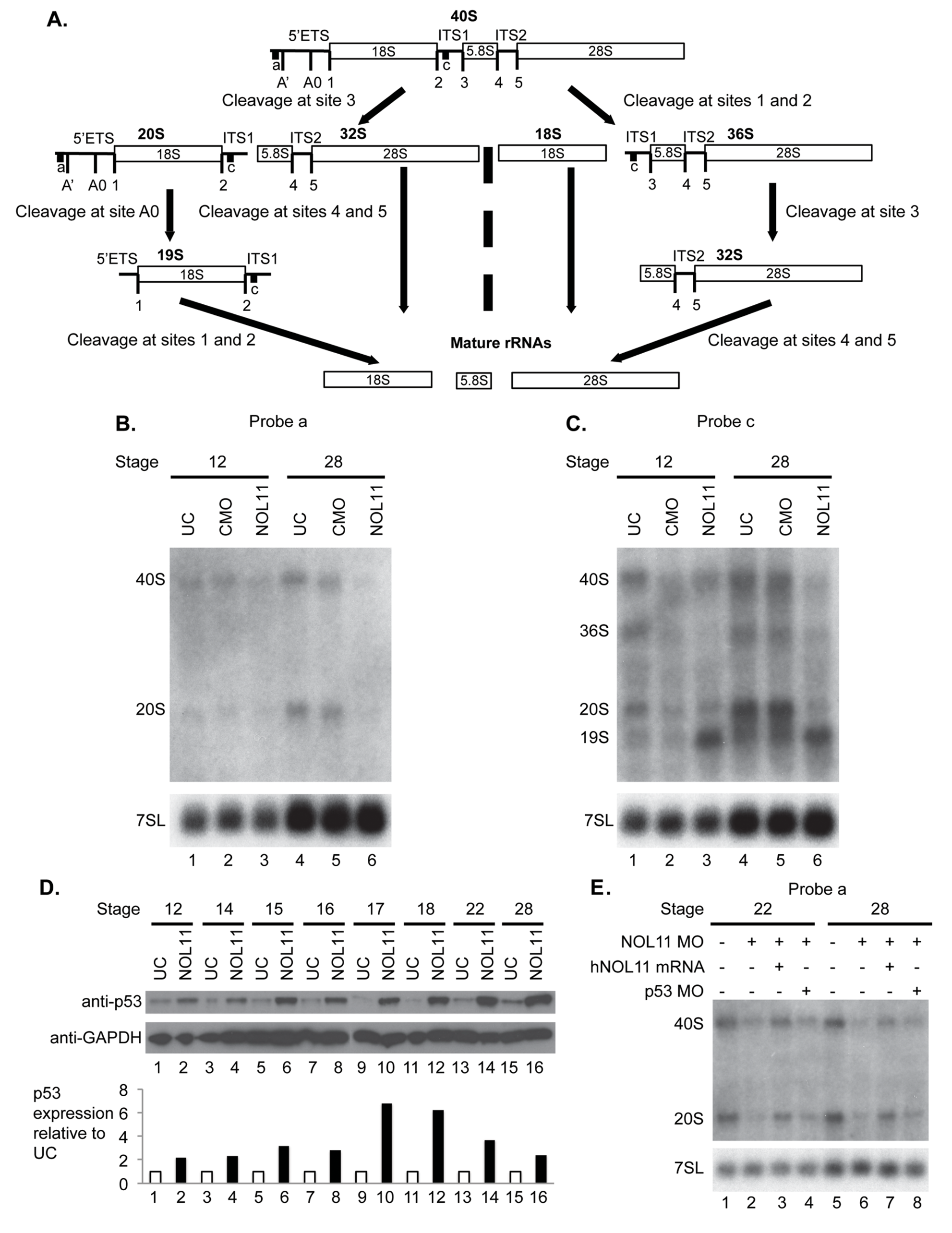Nol11 depletion impairs rDNA transcription and pre-rRNA processing in <i>X</i>. <i>tropicalis</i>.