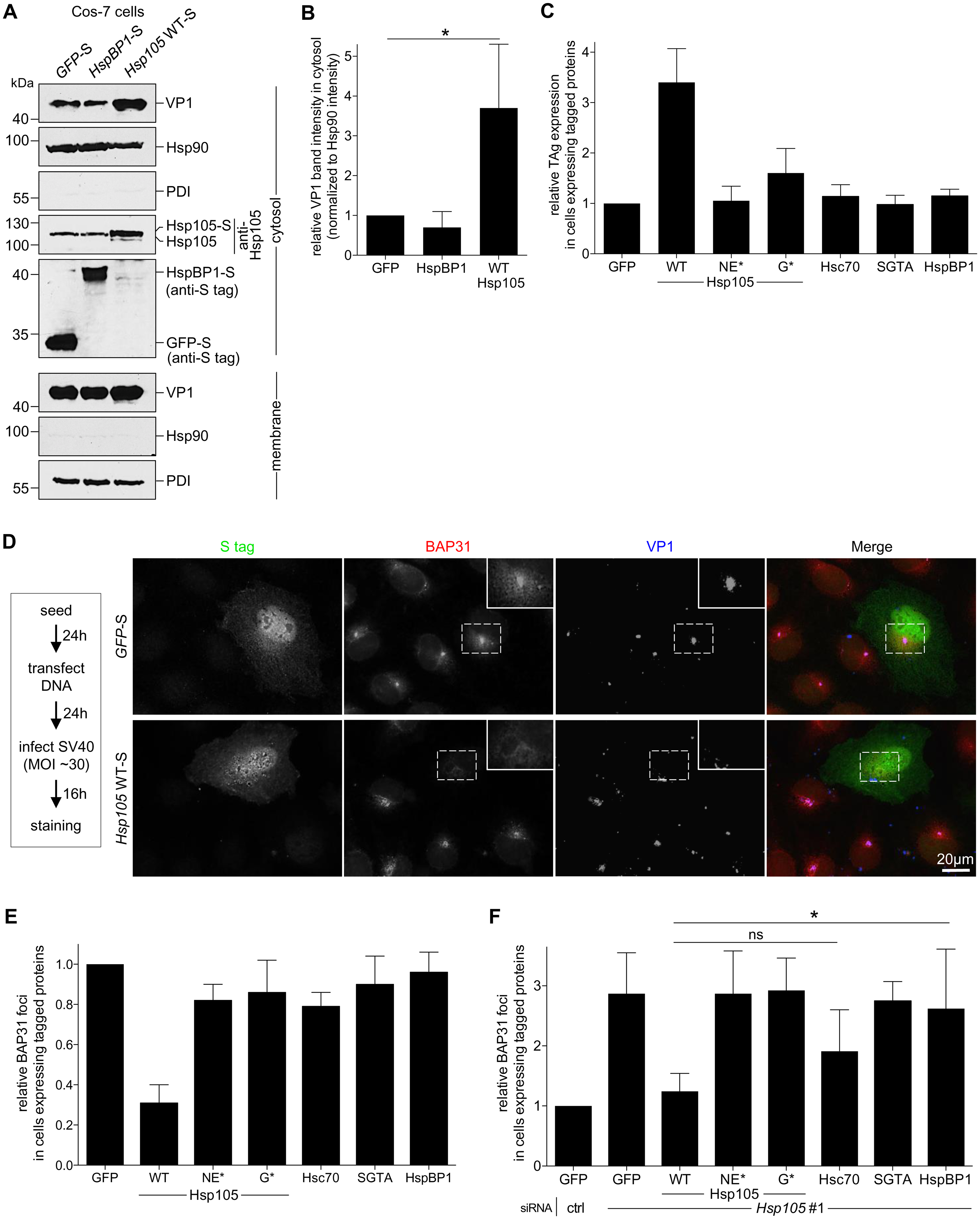 Hsp105 overexpression enhances SV40 extraction into the cytosol.