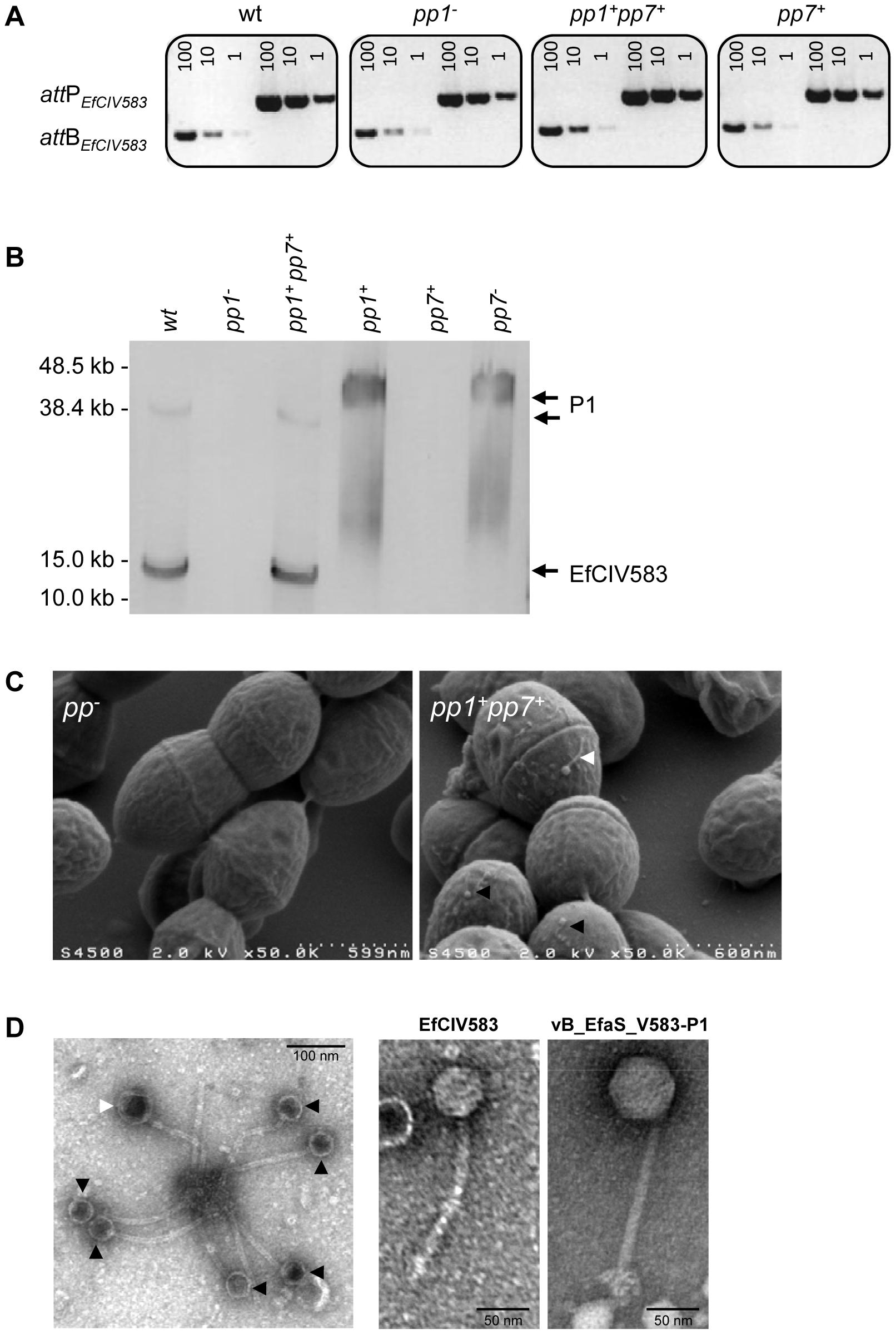 Interaction between <i>E. faecalis</i> pp1 and pp7 (EfCIV583).