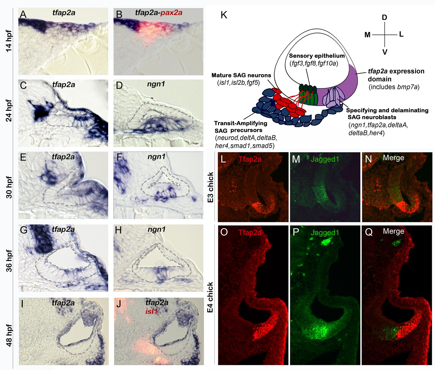 Conserved expression of <i>tfap2a</i> during otic neurogenesis.
