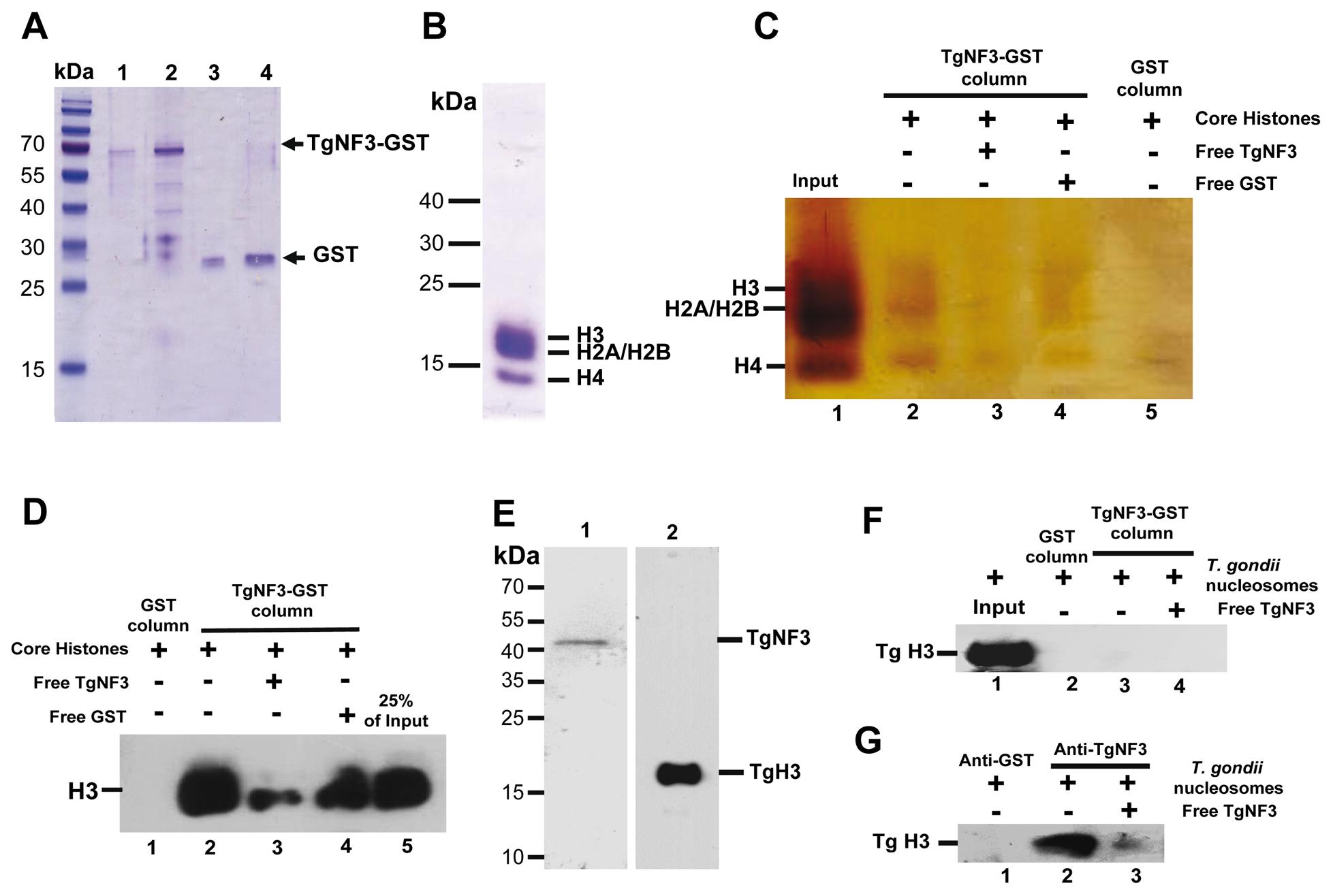 TgNF3 associates with core and nucleosome-associated histones <i>in vitro</i>.