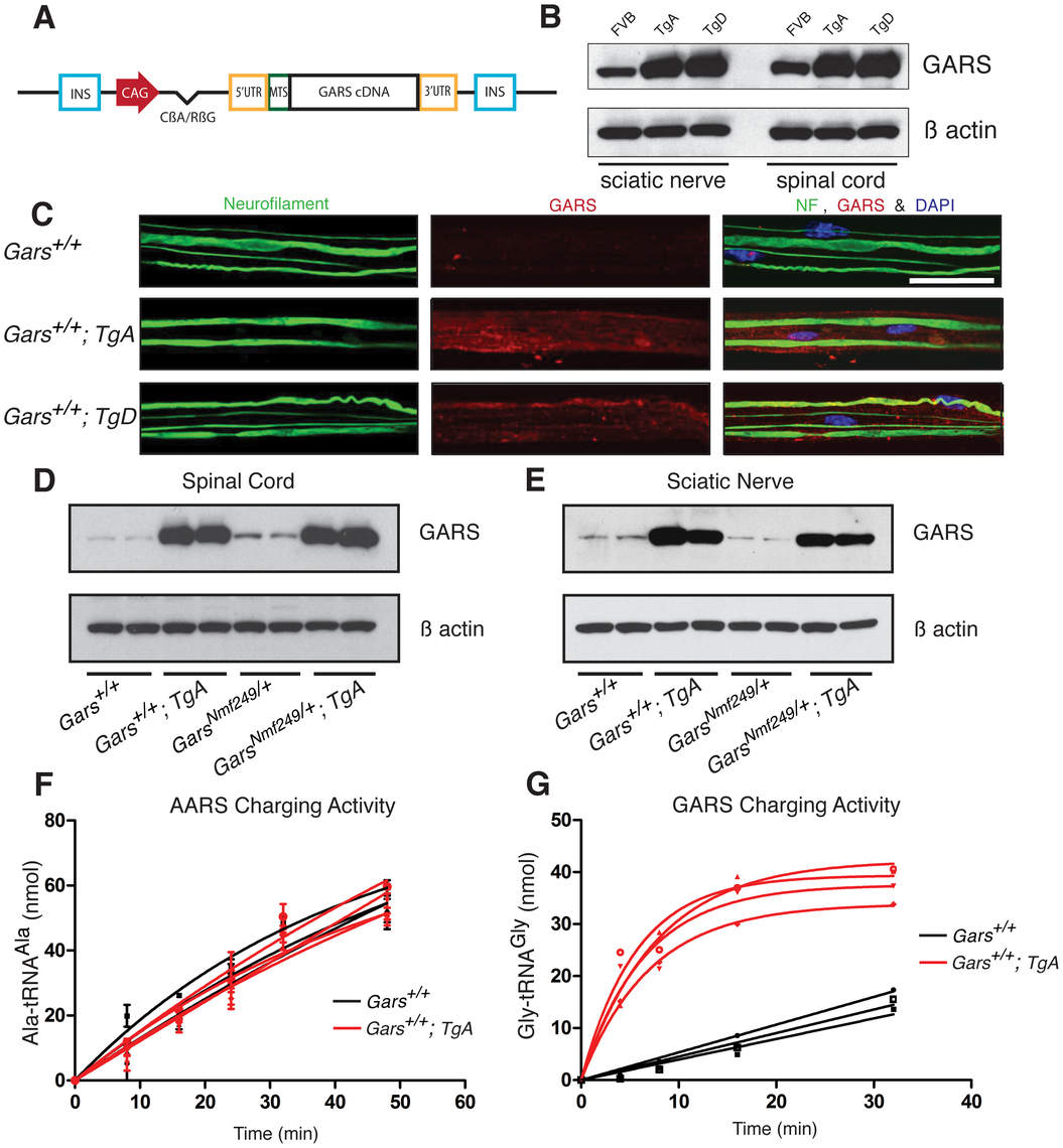 The <i>CAG-GARS</i> transgenic construct is robustly expressed in tissues and cell types affected by CMT.