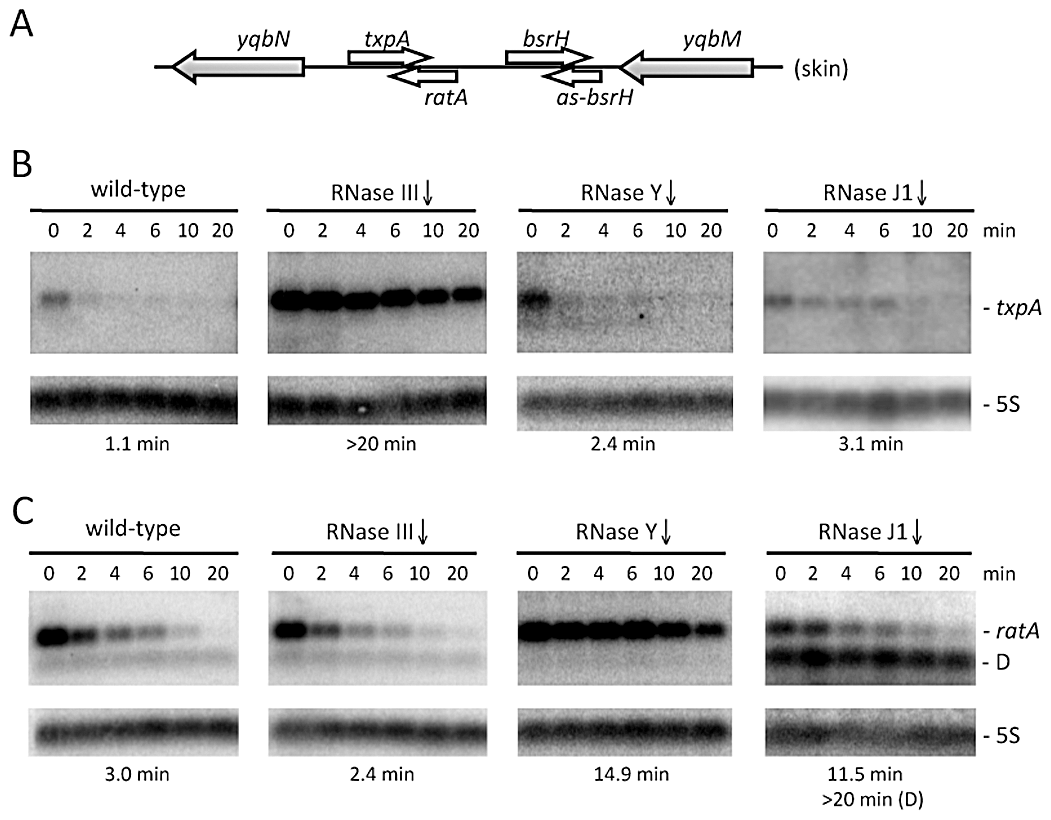 The <i>txpA</i> and RatA RNAs are stabilized in strains depleted for RNase III and RNase Y, respectively.