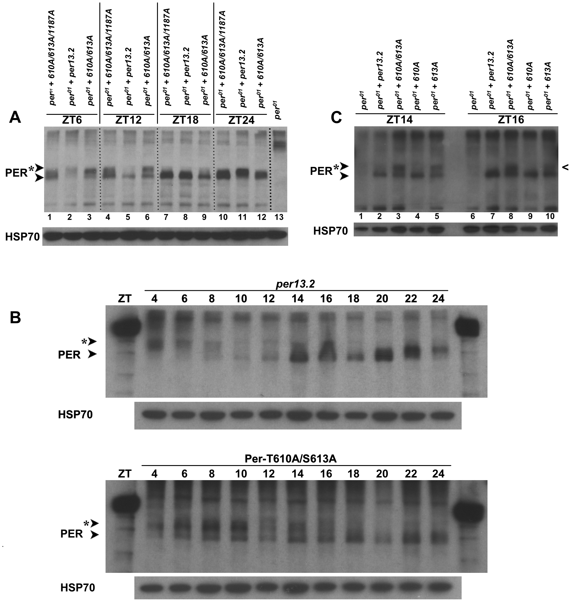 PER-T610A/S613A exhibits defects in protein phosphorylation and stability.