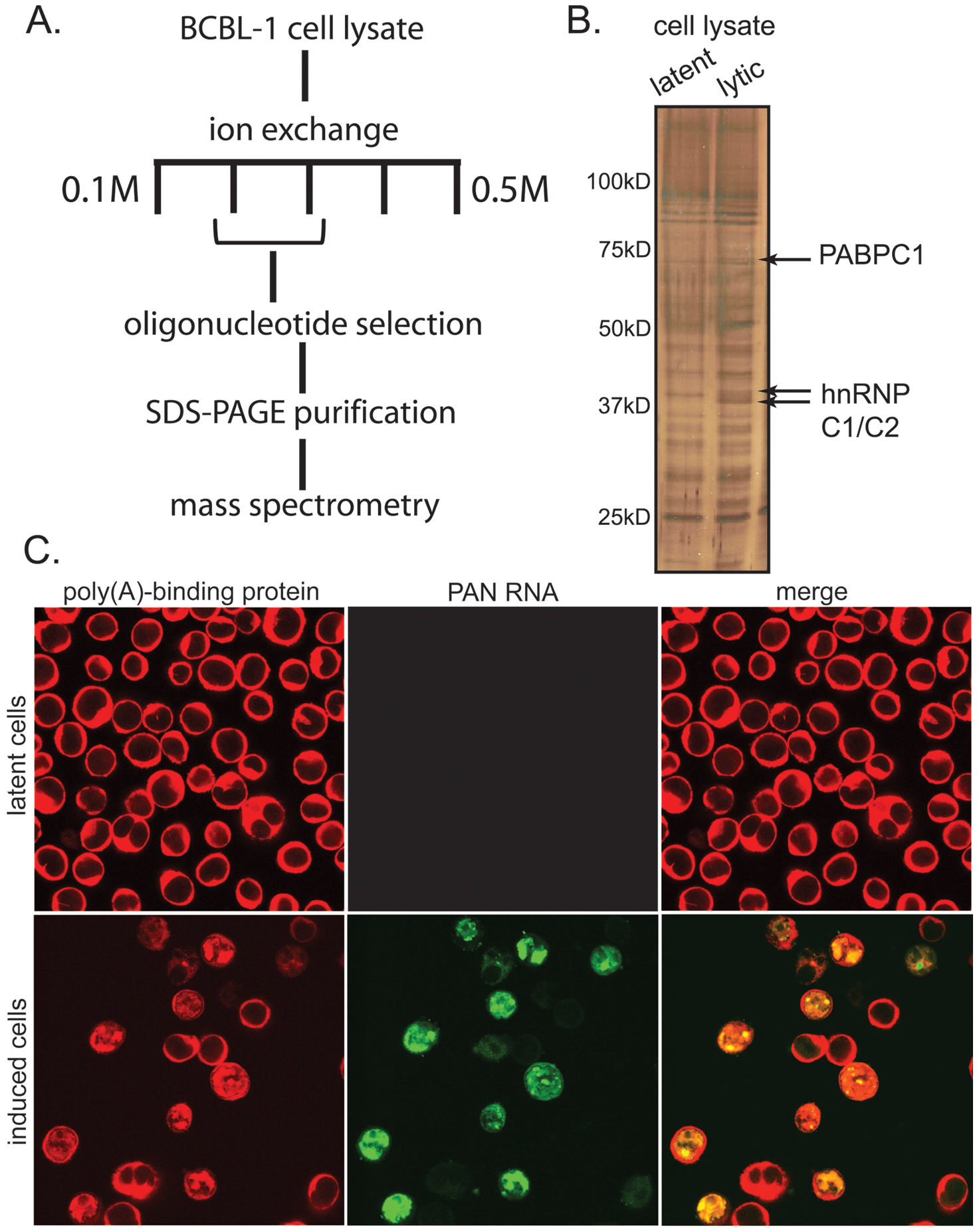 PAN RNA binds to PABPC1 in the nucleus of lytically infected BCBL1 TReX-RTA cells.