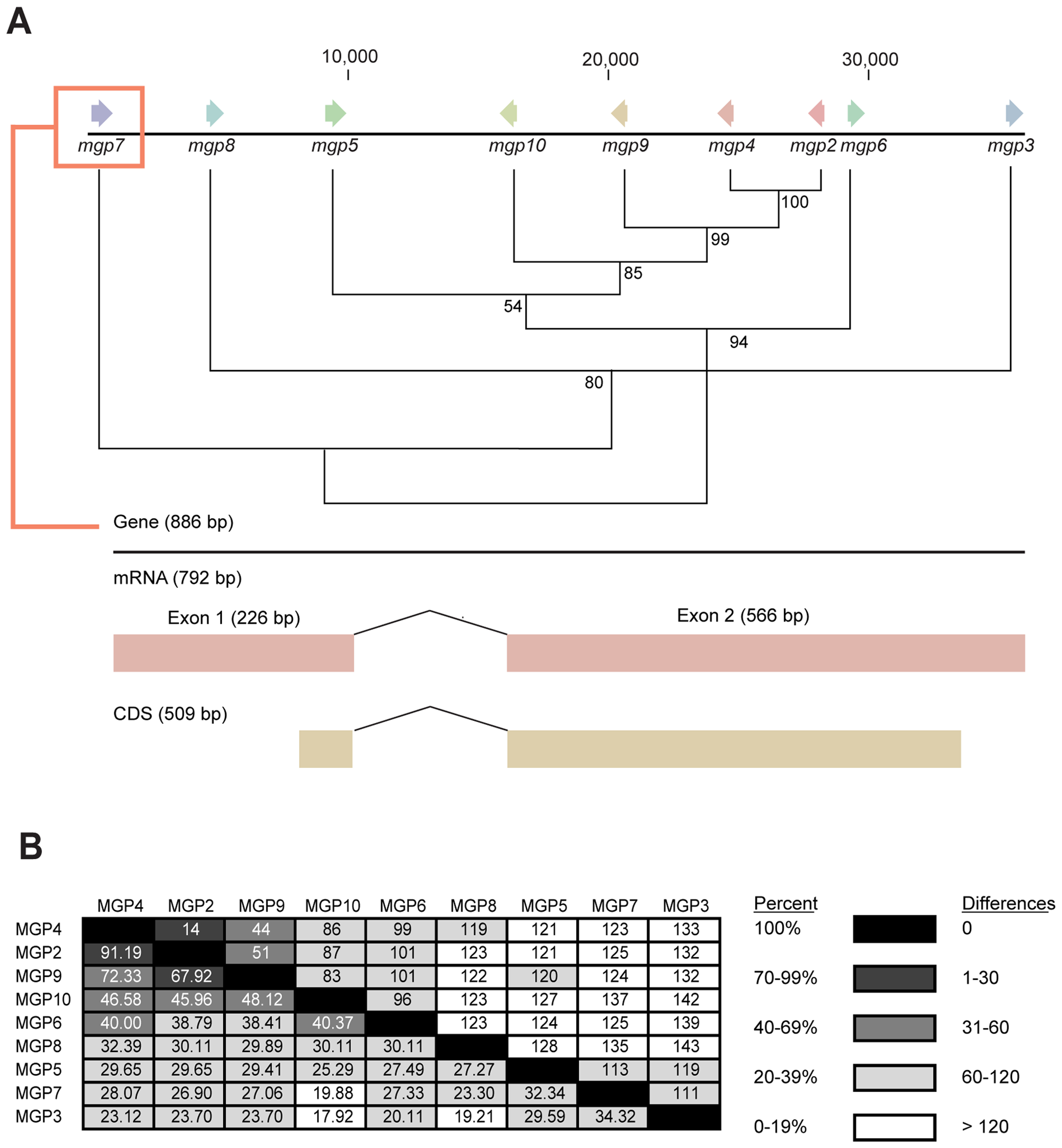 Genome localization of <i>Glossina morsitans</i> and <i>mgp2–10</i> phylogeny of genes for novel <i>Glossina morsitans morsitans</i> milk gland proteins.