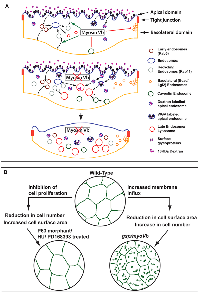 Schematic representation of <i>myosin Vb</i> function in the epidermis and its link with tissue homeostasis.