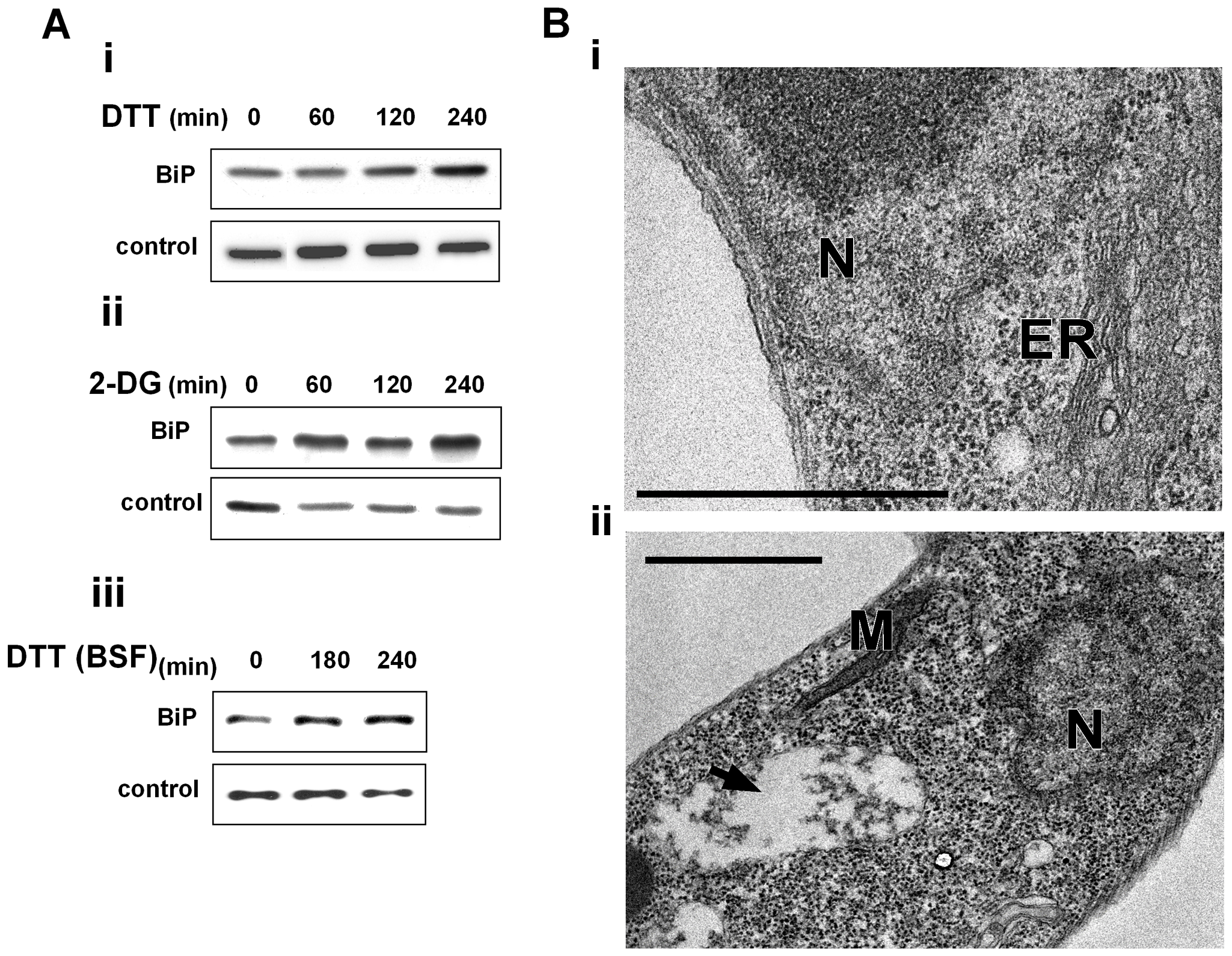 ER stressors induce BiP expression and ER dilation.