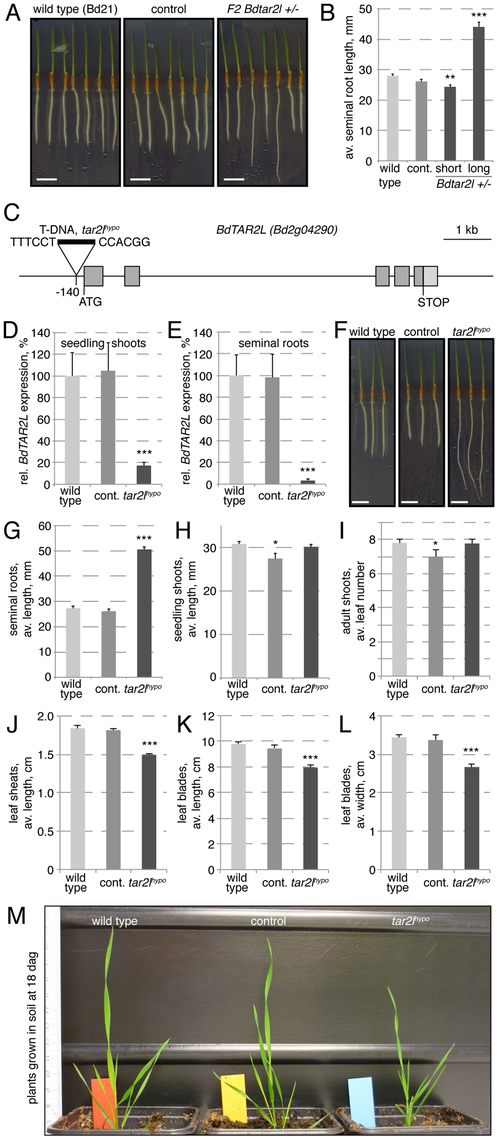 Isolation of the <i>Bdtar2l<sup>hypo</sup></i> mutant and characterization of macroscopic phenotypes.