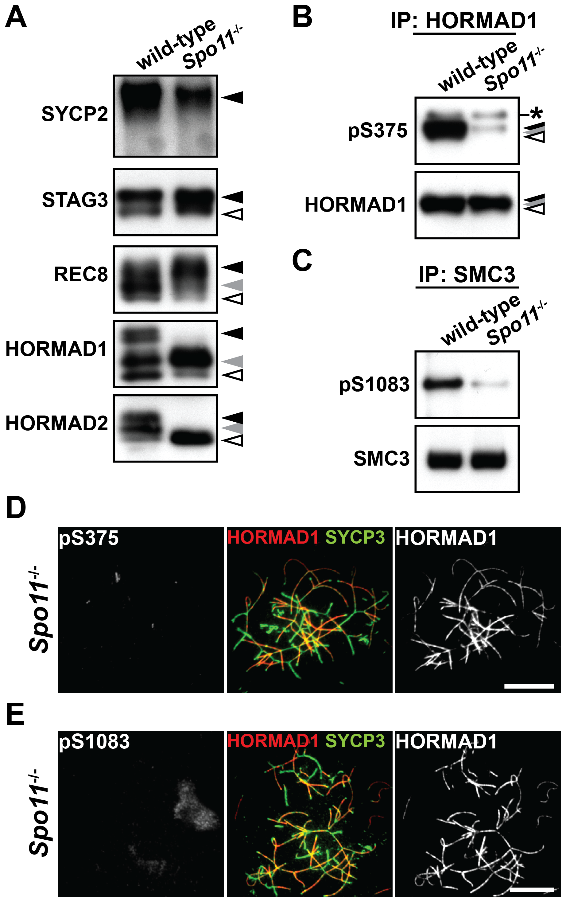 Phosphorylation of HORMAD1, HORMAD2, and SMC3 is highly dependent on SPO11.