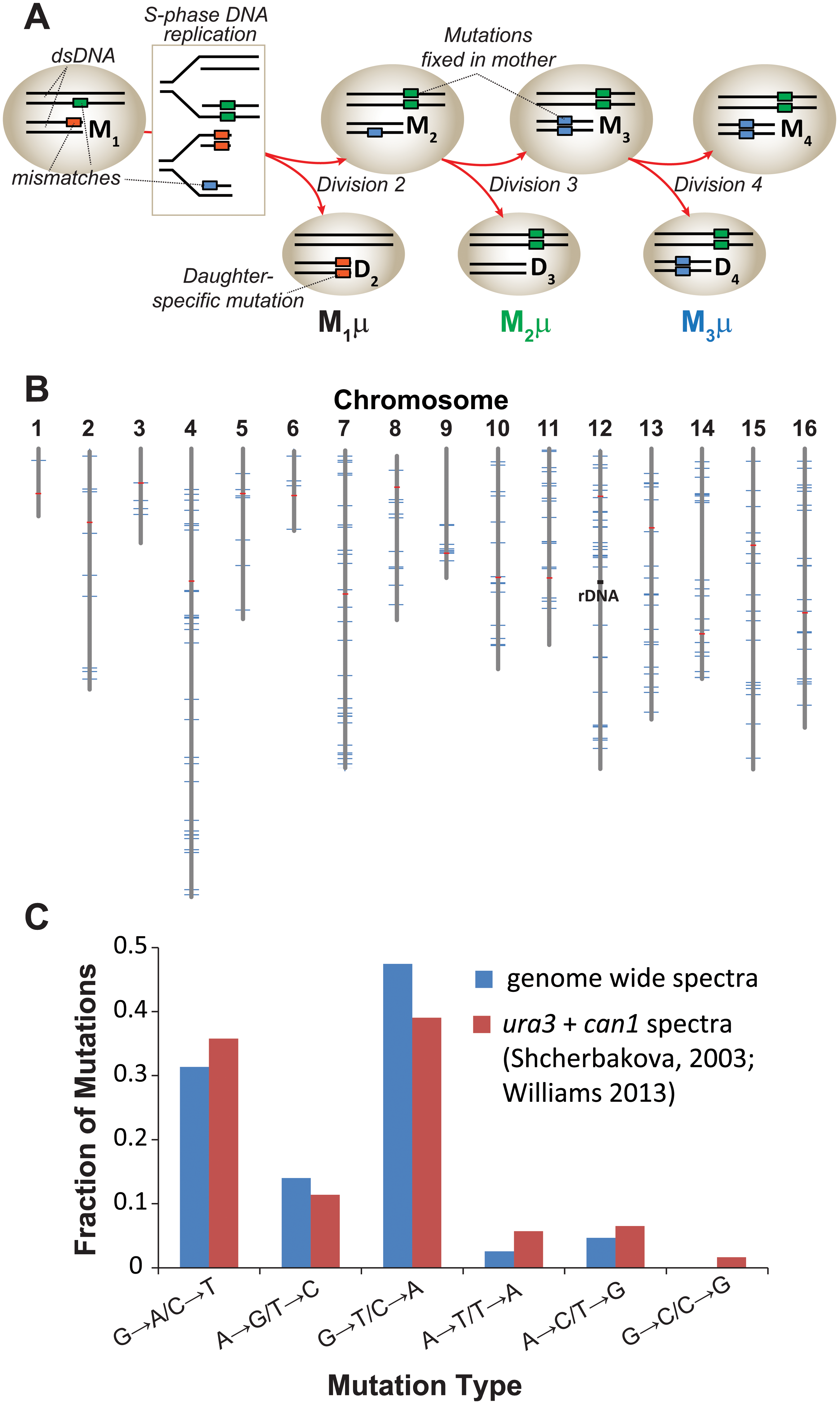 Mutation rate of <i>pol2-4 msh6Δ</i> mother yeast cells at single cell resolution.