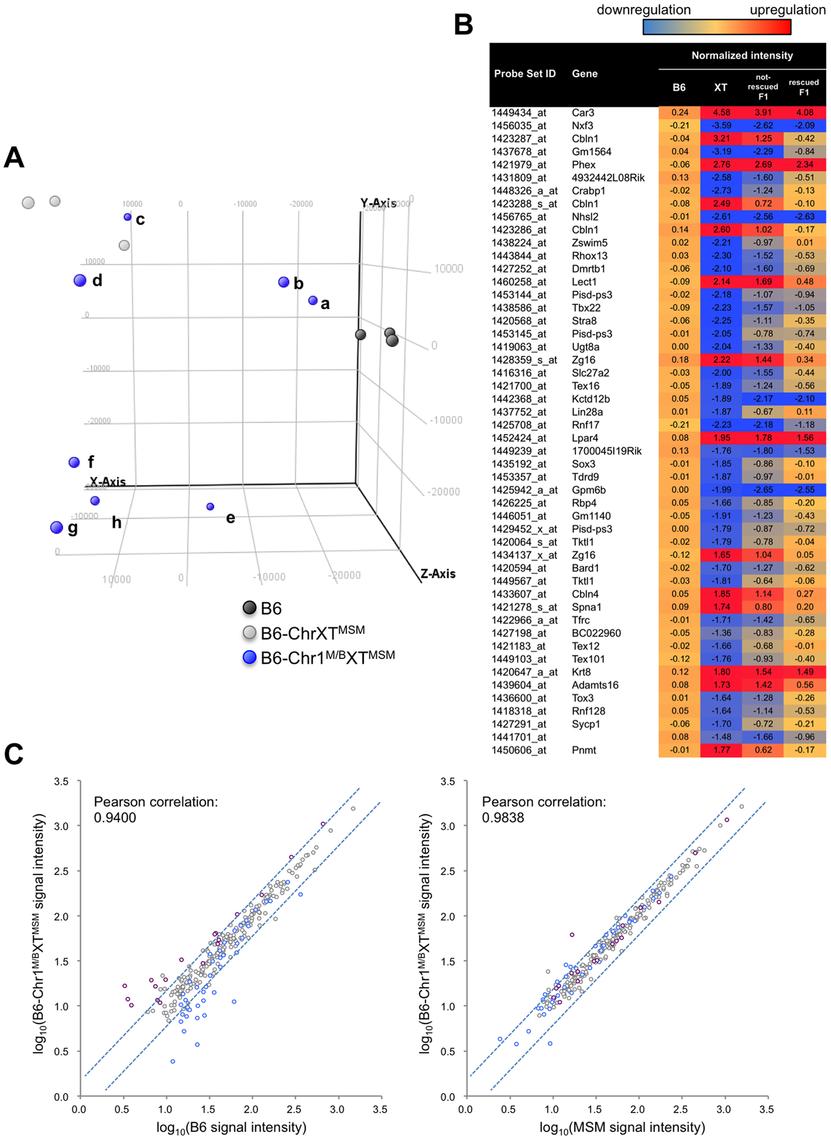 Transcriptional profiling of B6-Chr1<sup>MSM/B6</sup>XT<sup>MSM</sup> testes.