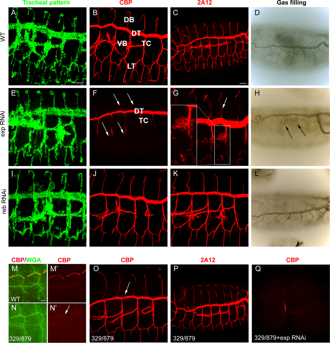 Tracheal defects in <i>exp</i> and <i>reb</i> loss-of-function.