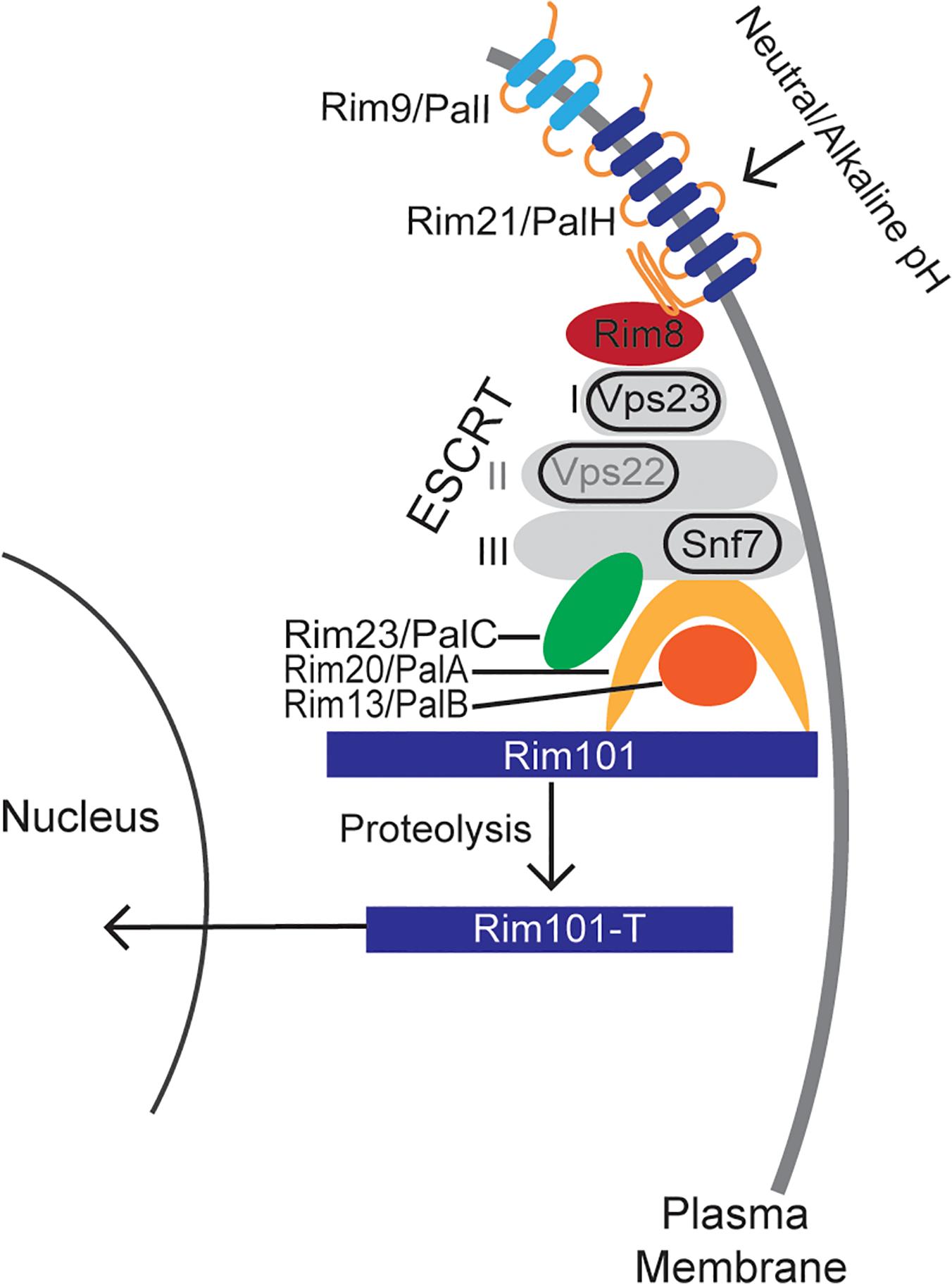 "A model of the canonical Rim pathway elucidated in ascomycete fungi [<em class=""ref"">21</em>,<em class=""ref"">24</em>]."