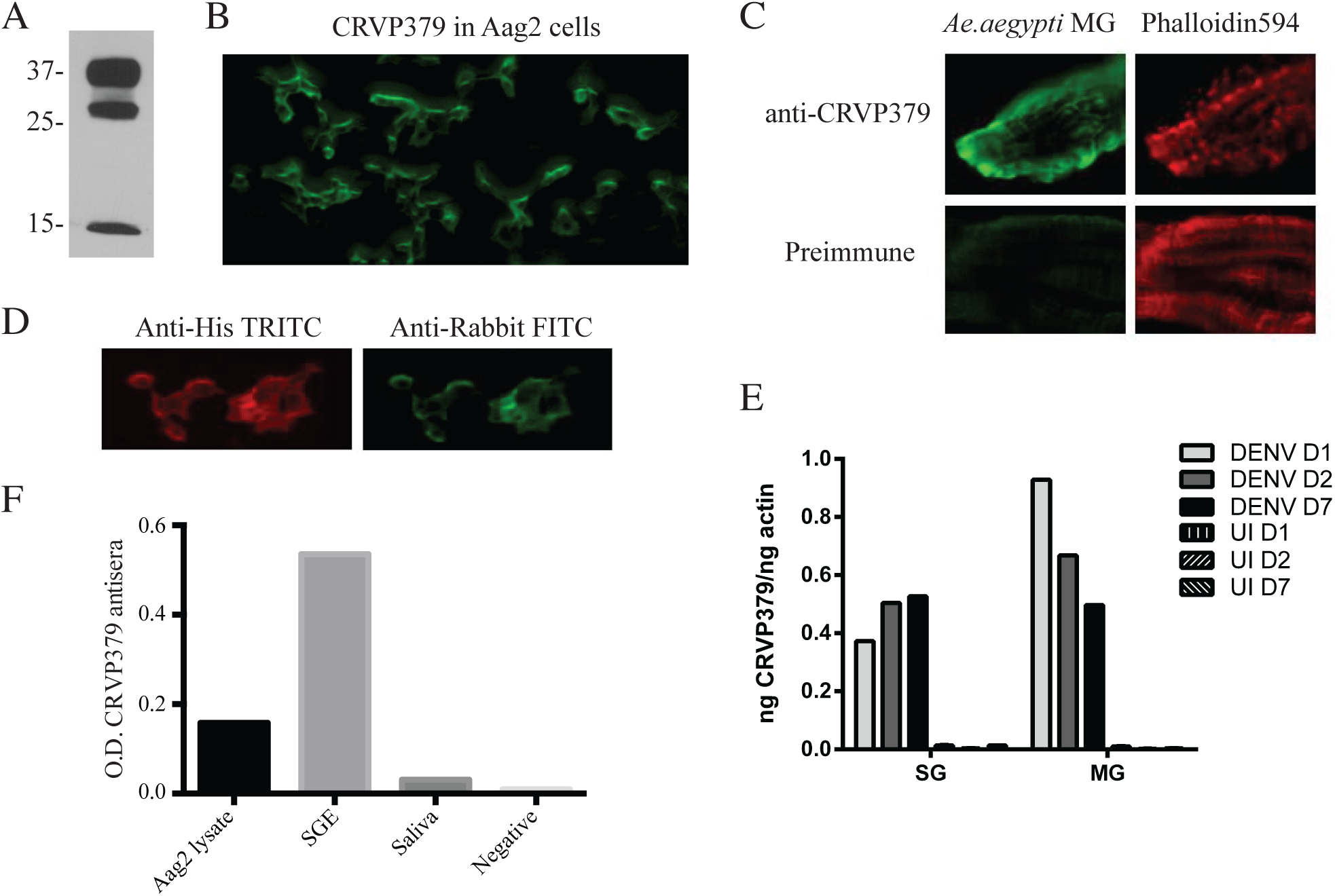 Antibodies against CRVP379 recognize native protein in <i>Ae</i>. <i>aegypti</i>.