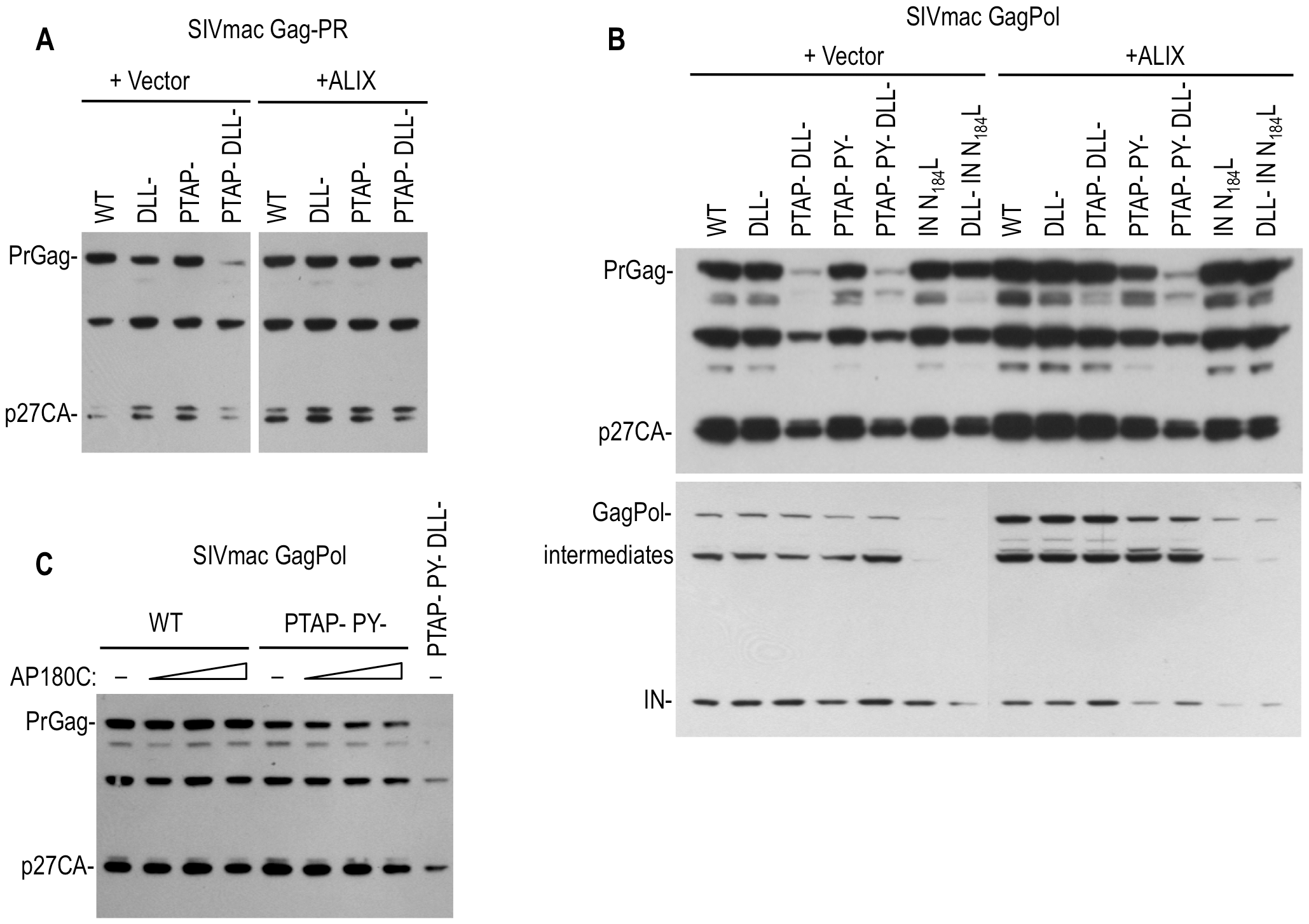 Effects of Clathrin, Tsg101 and ALIX on the levels of SIVmac Gag and Pol proteins.