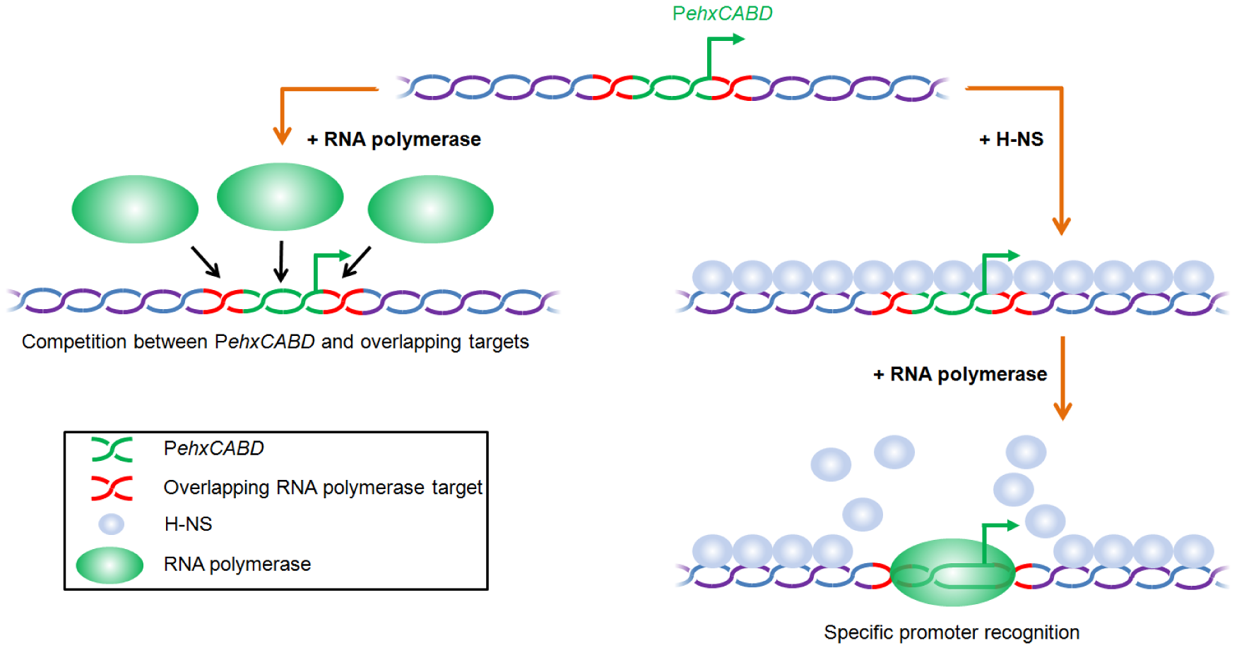 Model for H-NS induced specificity during interactions between RNA polymerase and AT-rich gene regulatory regions.