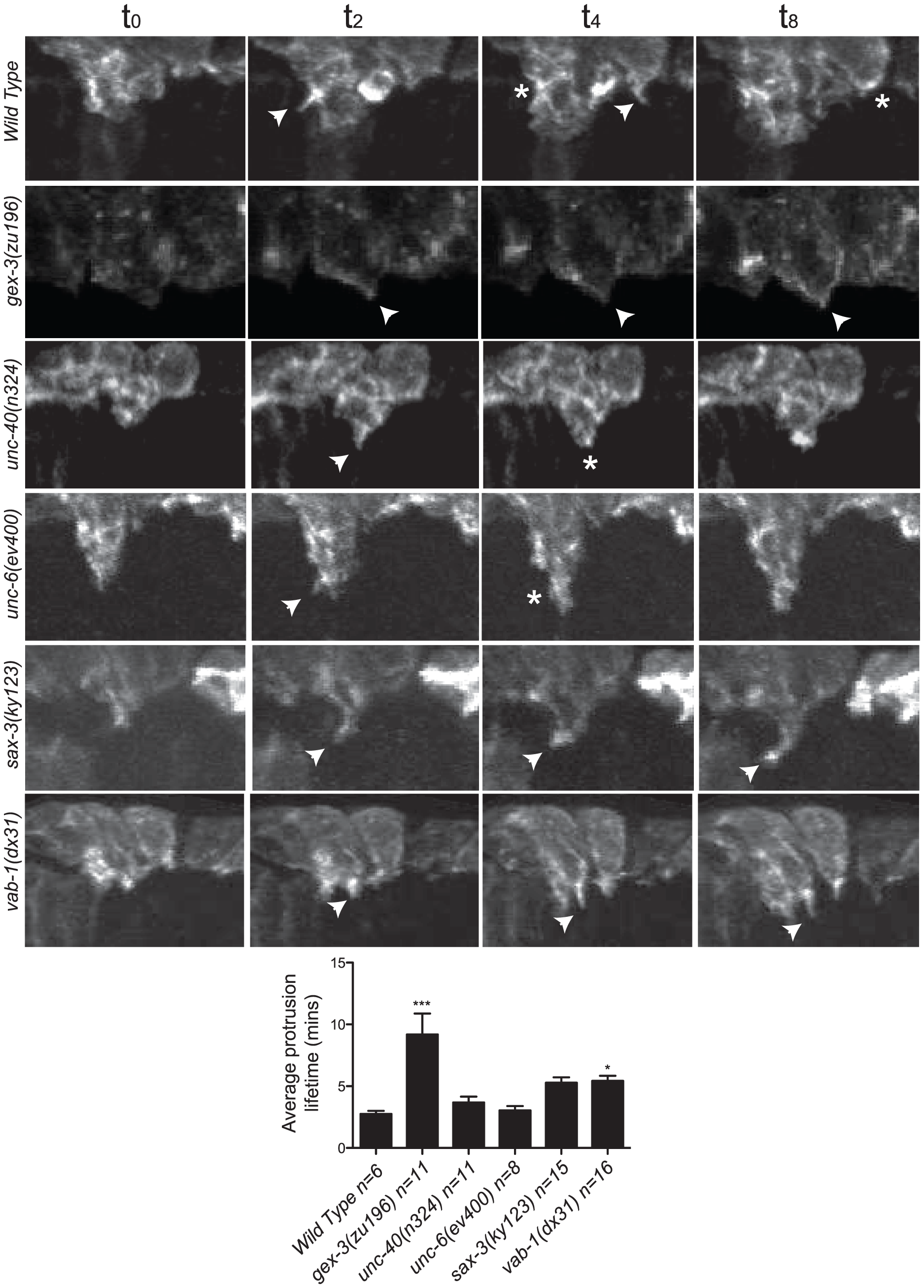 The dynamic turnover of F-actin protrusions is altered in morphogenesis mutants.