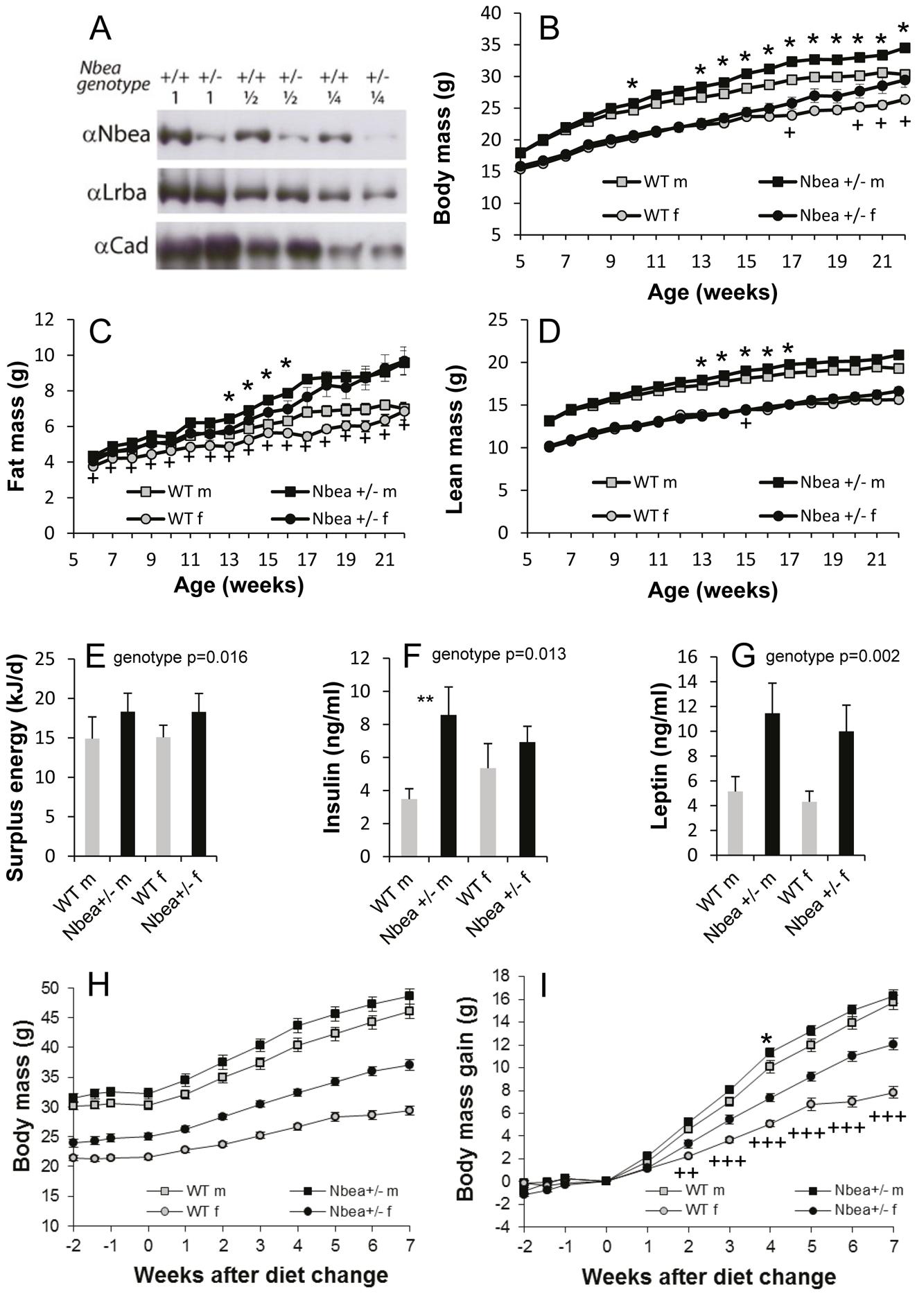 Nbea-haploinsufficient mice develop higher body weight due to higher adipose tissue mass.