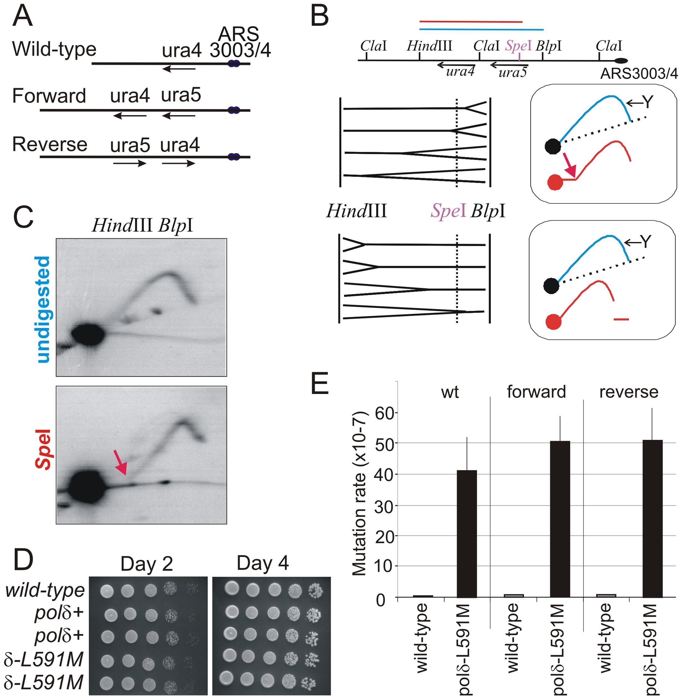 Polδ L591M shows mutagenic strand bias.