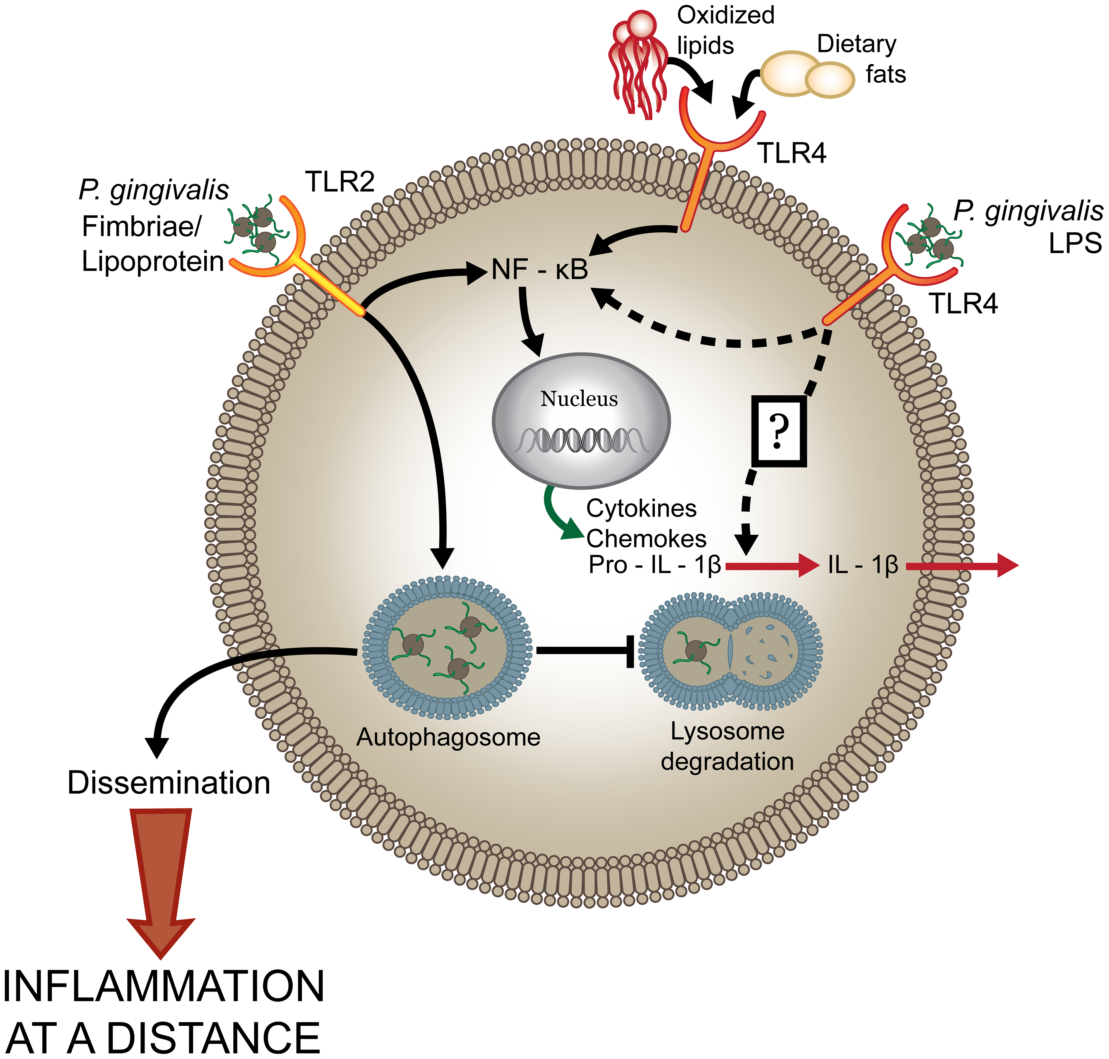 <i>P. gingivalis</i> dysregulates host cell immune activation facilitating systemic inflammation.
