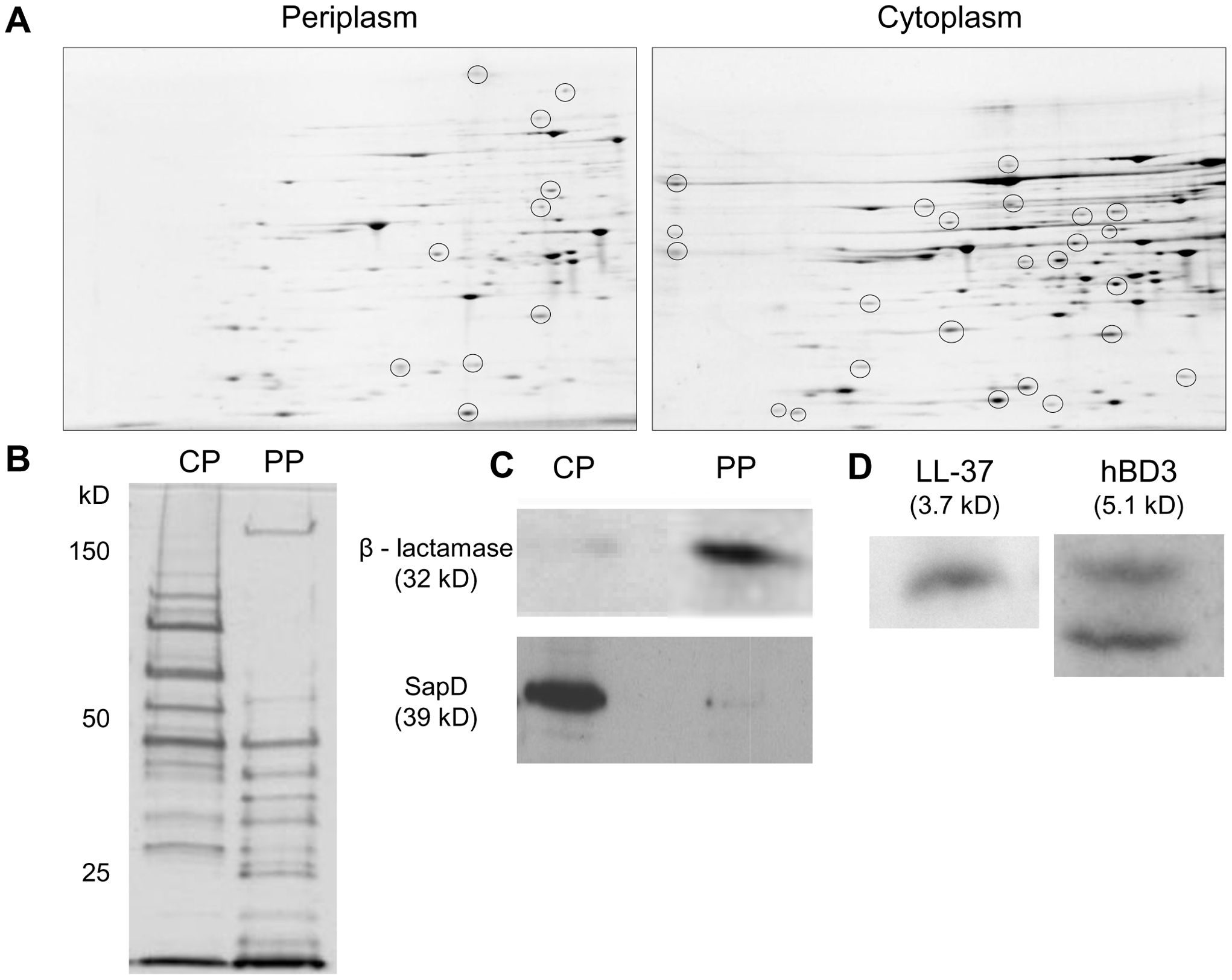 AMPs localize to cytoplasm-enriched fractions of NTHI.