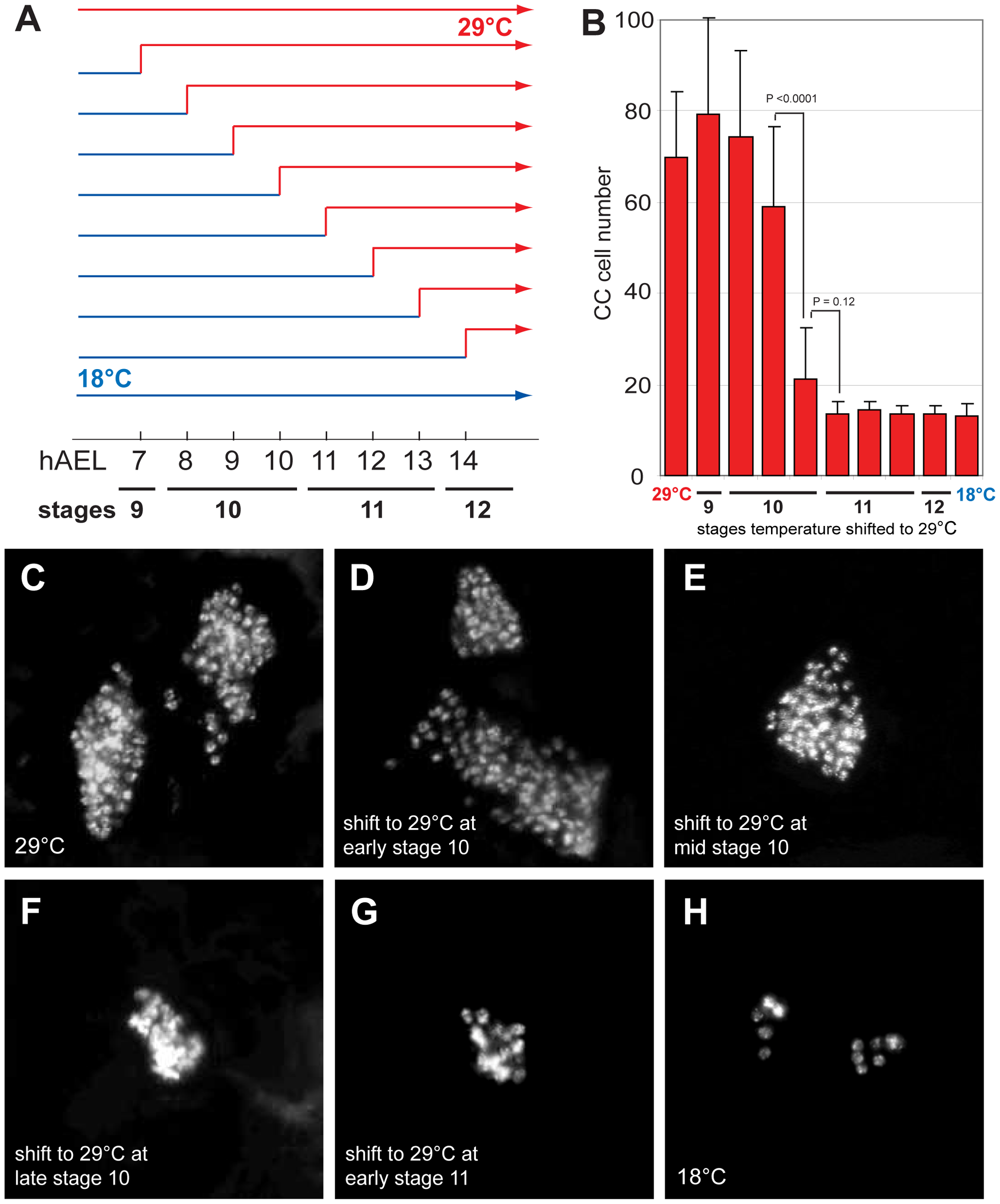 <i>Delta</i> regulates CC cell number before embryonic stage 11.
