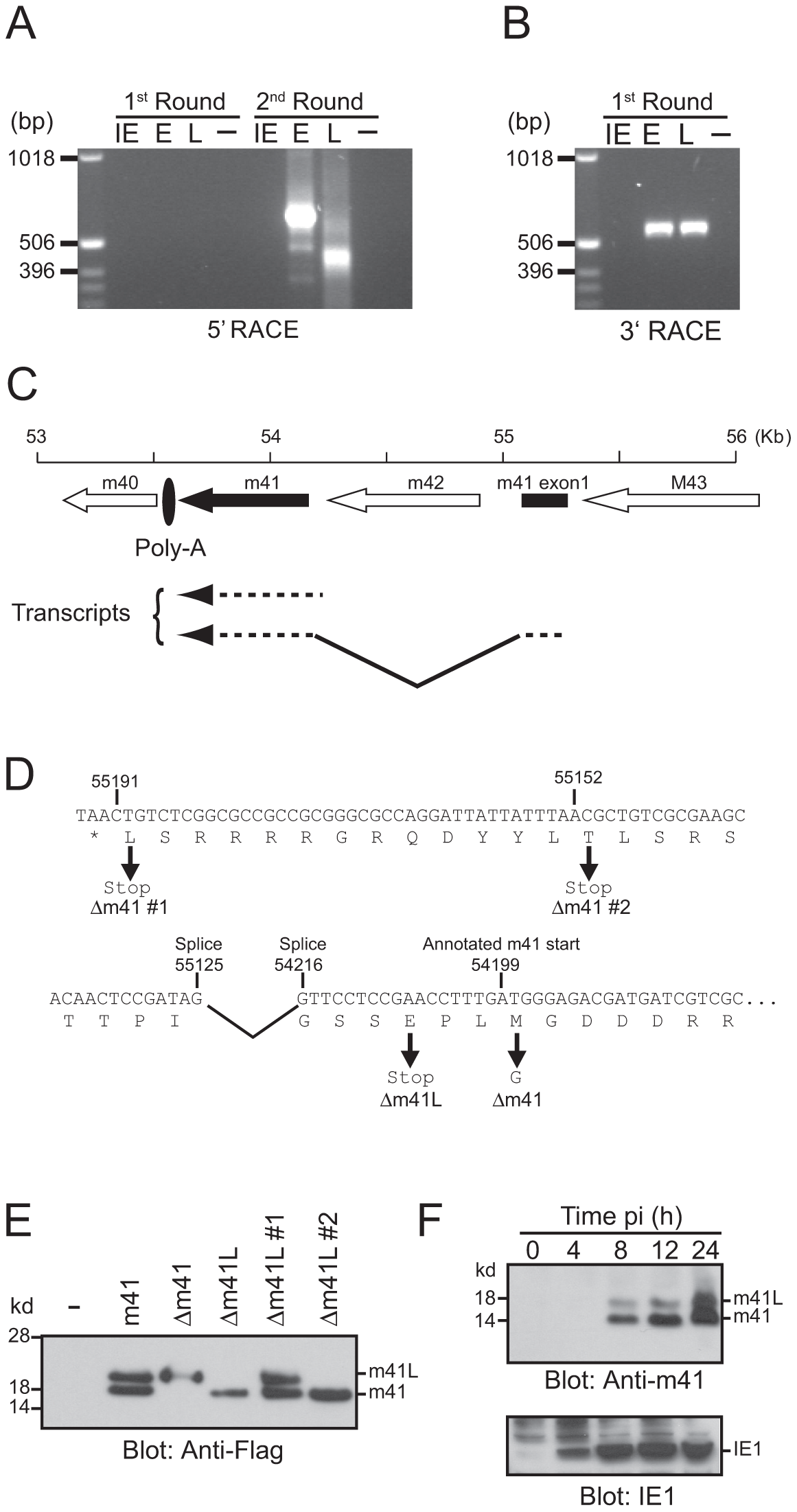 Genomic arrangement and analysis of the m41 locus.
