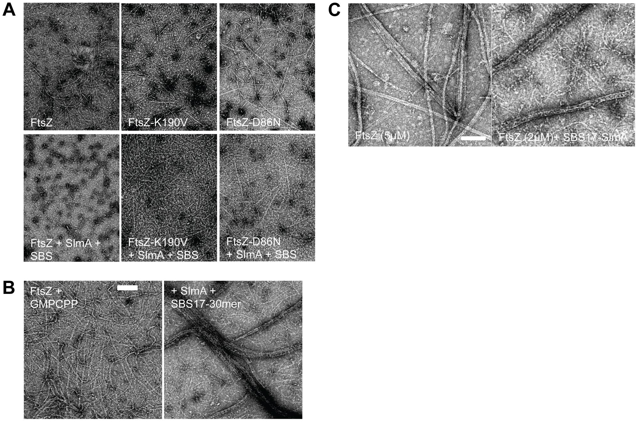 FtsZ mutants are resistant to SlmA antagonism of FtsZ polymerization.
