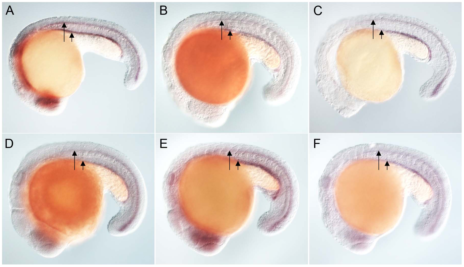 Zebrafish FoxJ2 and FoxJ3 are unable to induce the expression of ciliary genes.