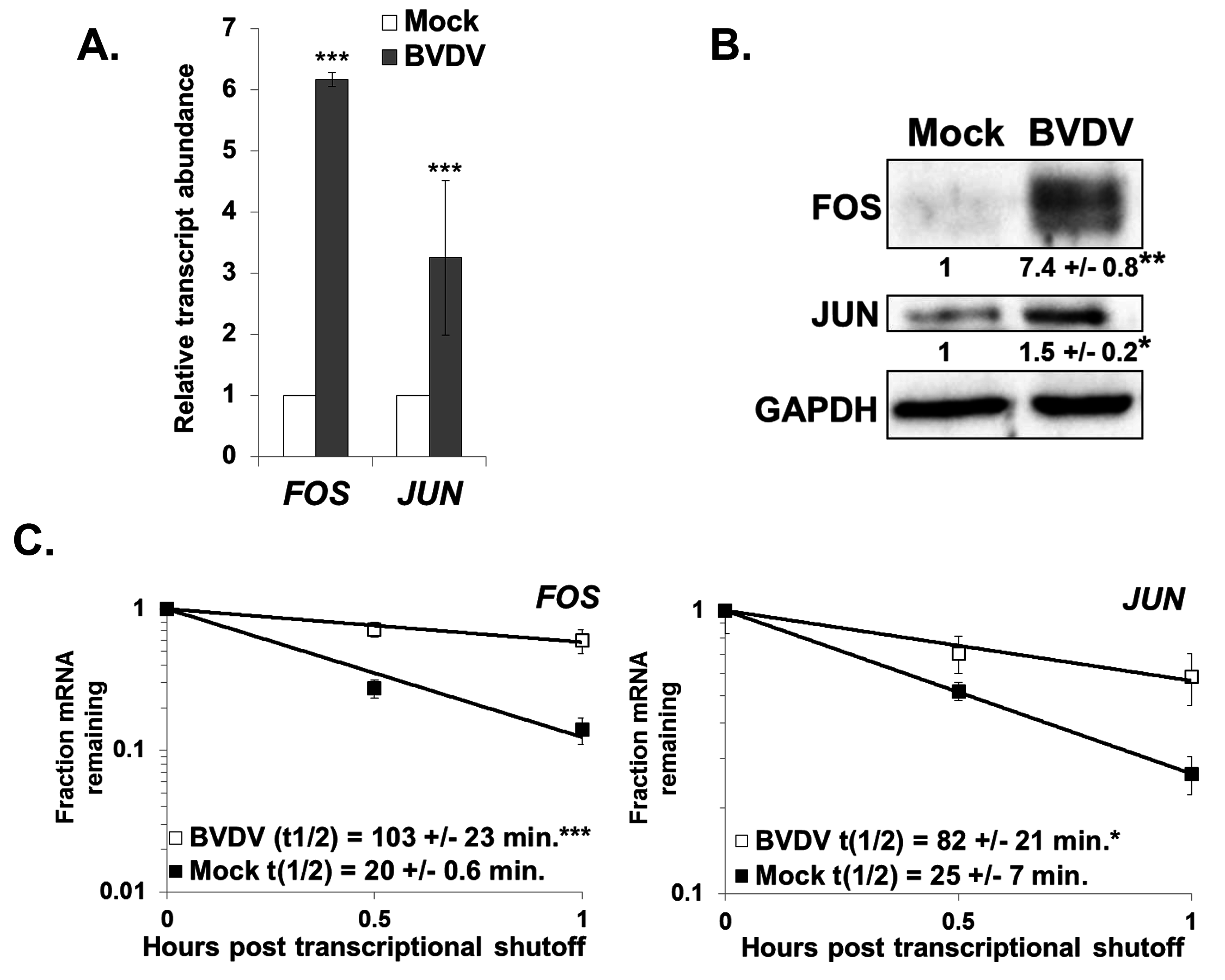 Changes in gene expression also indicate XRN1 suppression and increased mRNA stability during BVDV infection.