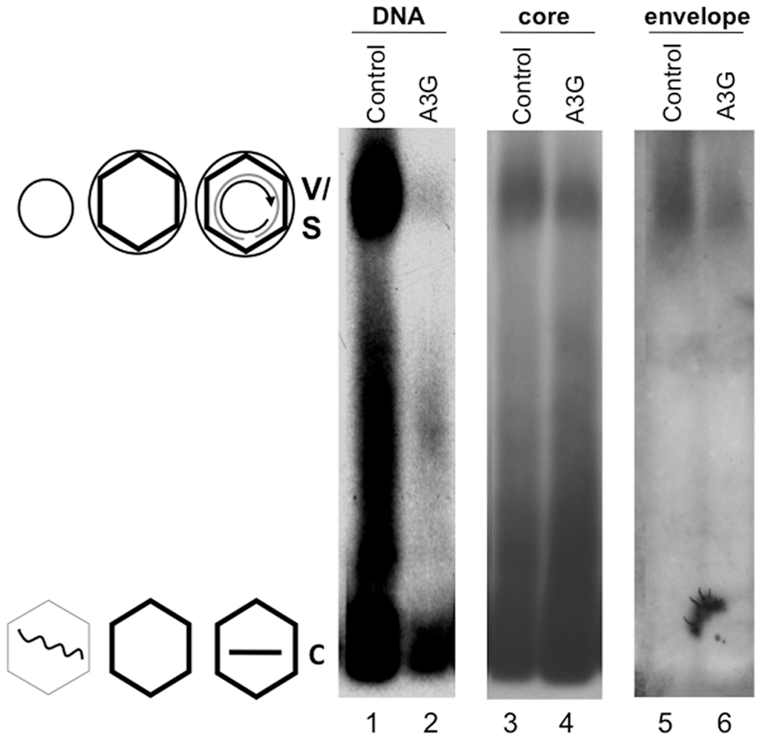 Inhibition of HBV DNA synthesis by Apobec3G did not block virion secretion.