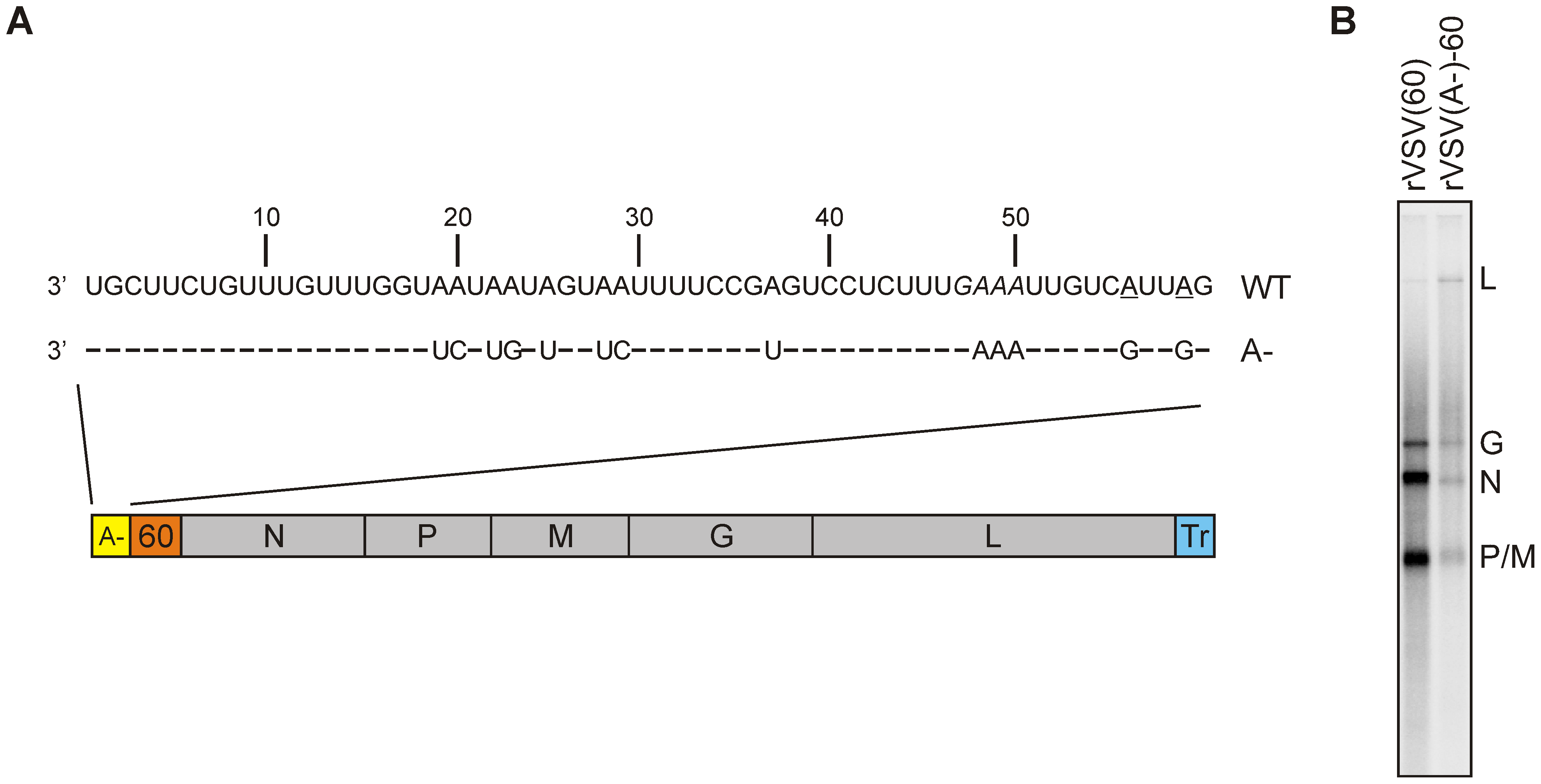 Effect of an (A-) leader region on transcription.