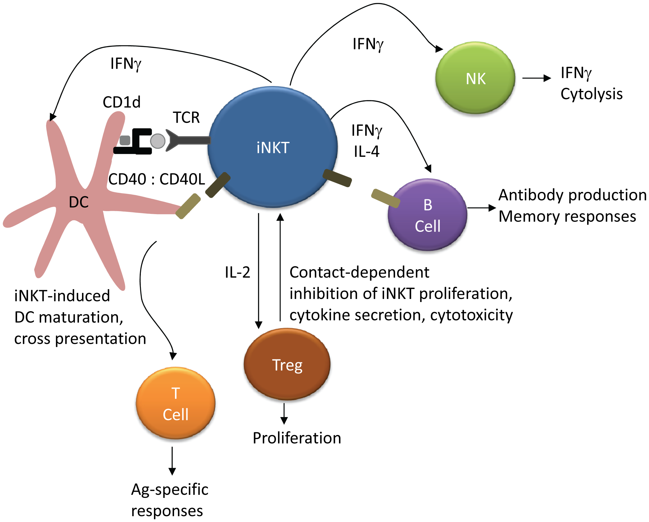 iNKT regulation of NK, T cell, and B cell activation.