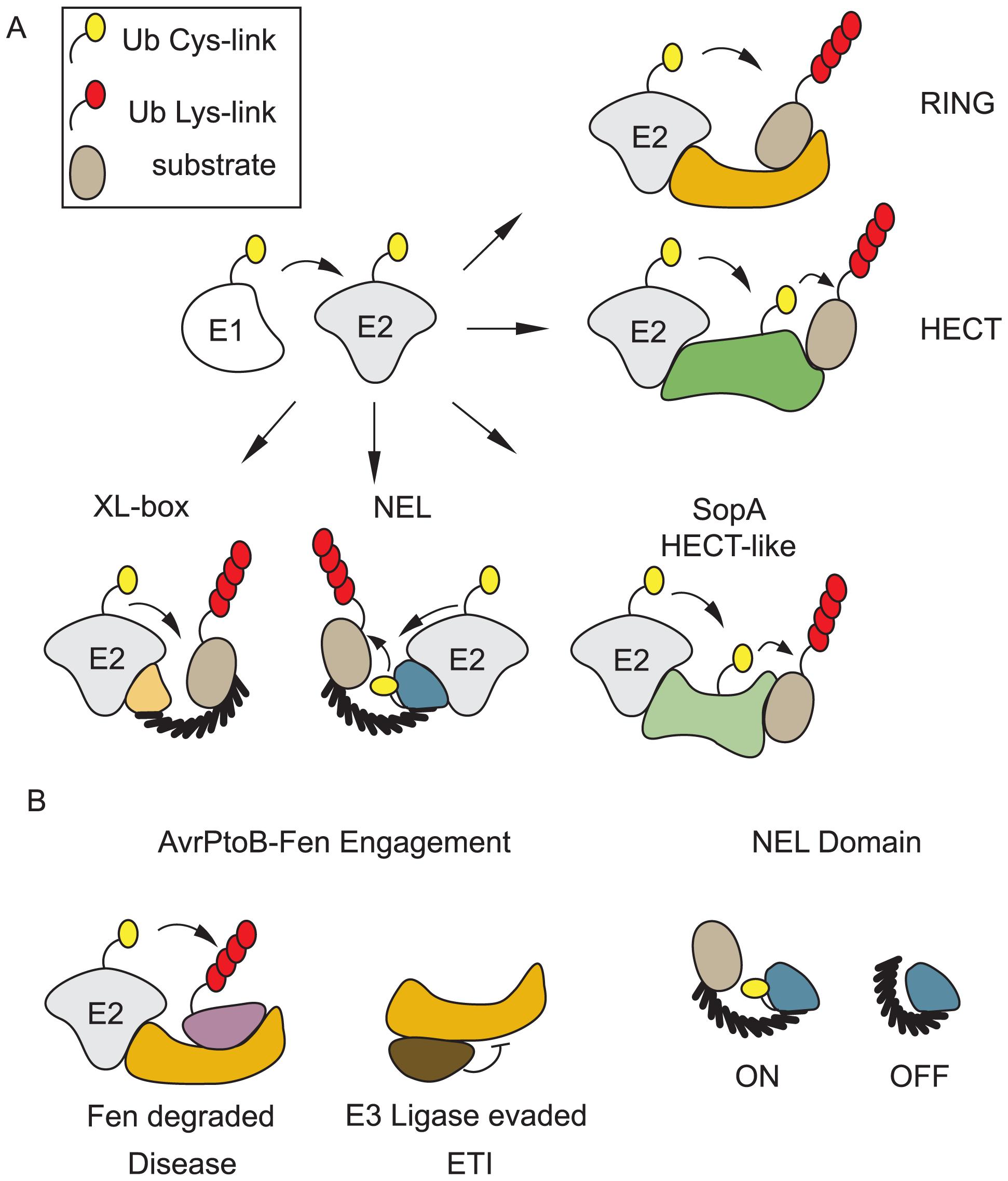 Bacteria encode E3 ubiquitin ligases of many classes.